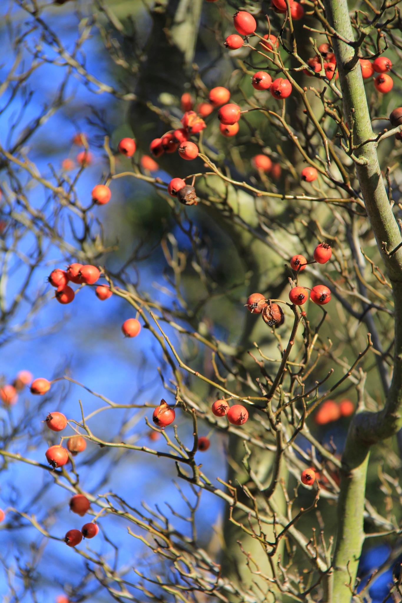Berries by Daveschoie