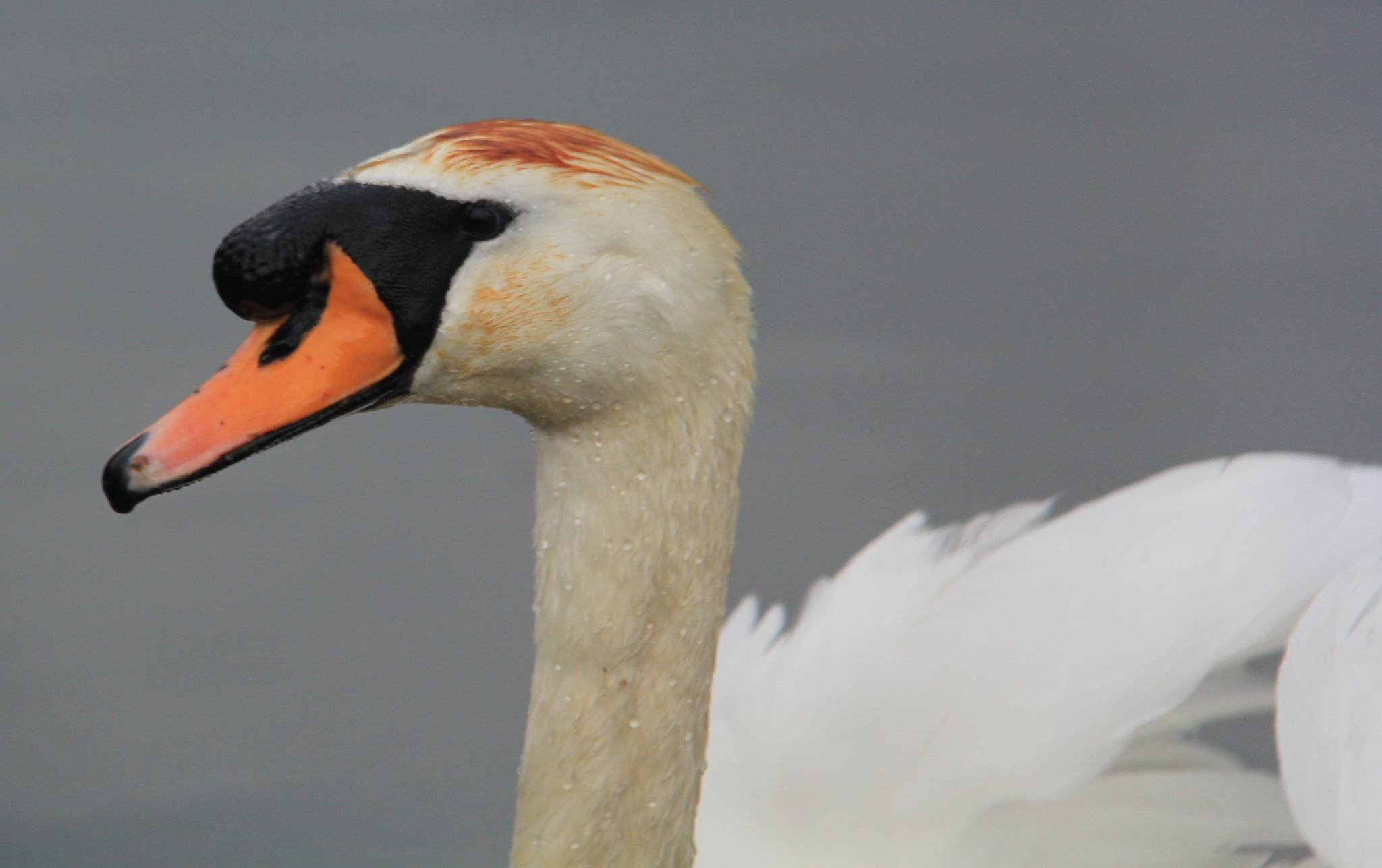 Young Swan 3 by Daveschoie