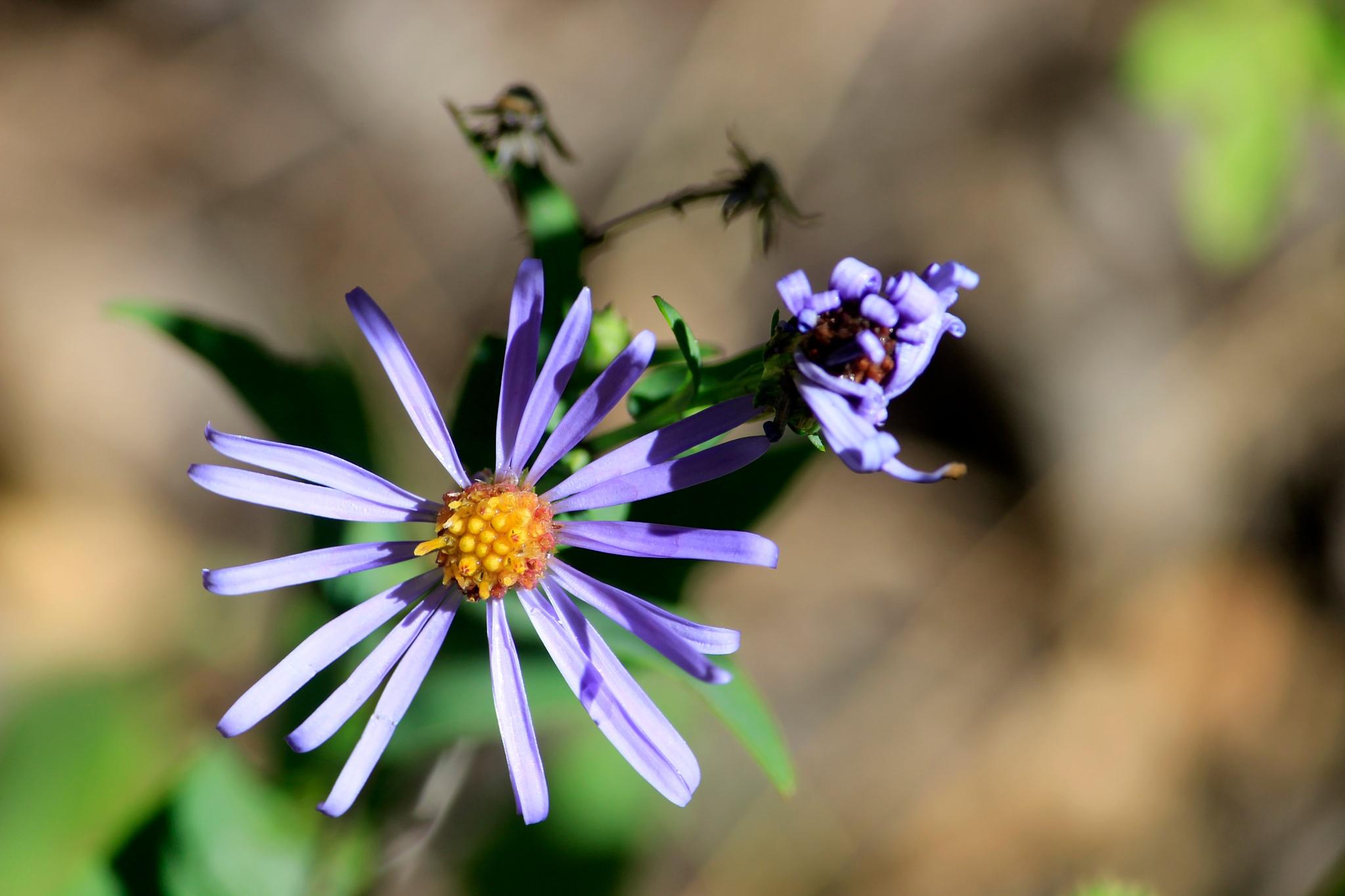 Purple Daisy by Lynda Clayton