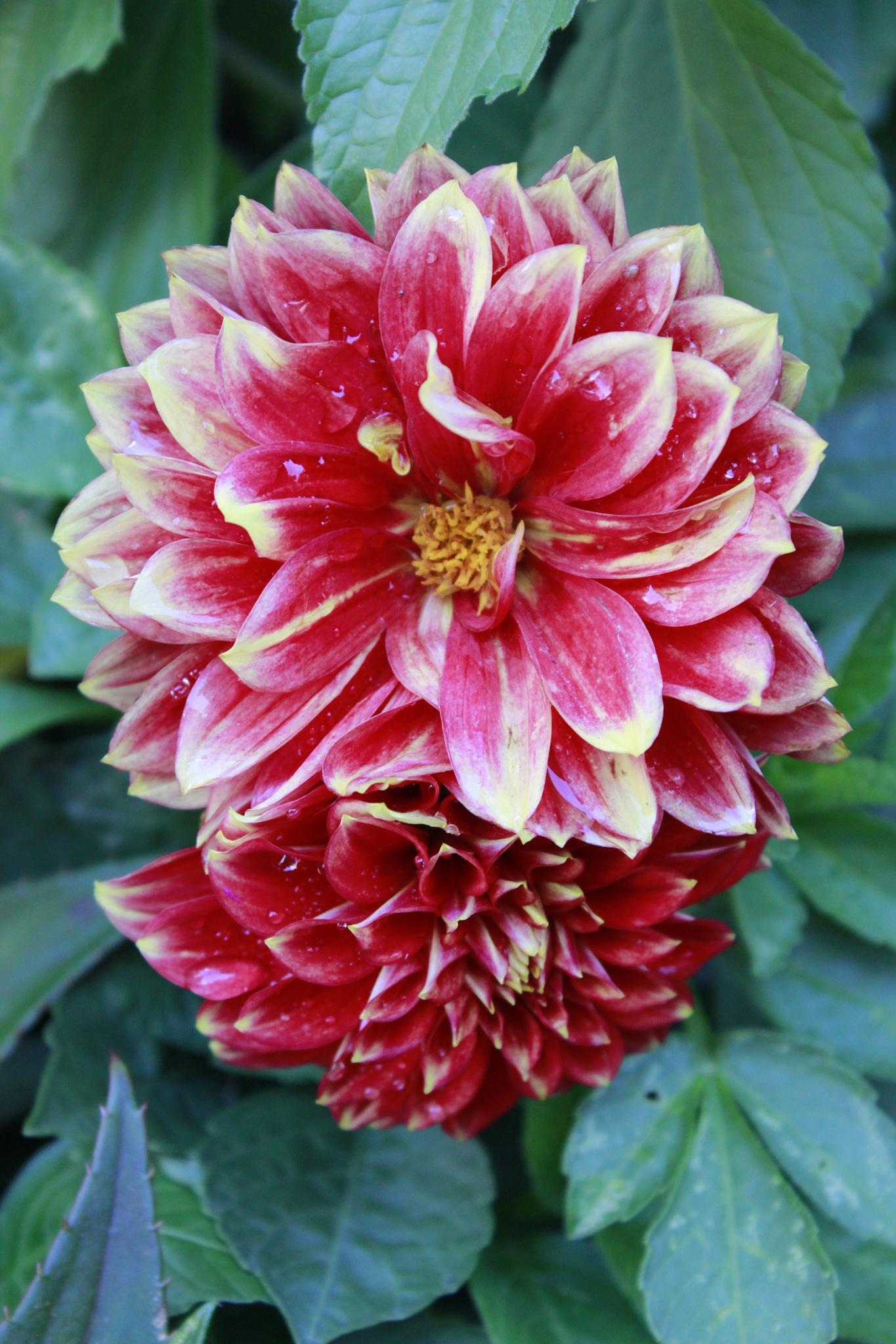 Lovely Red by Lynda Clayton