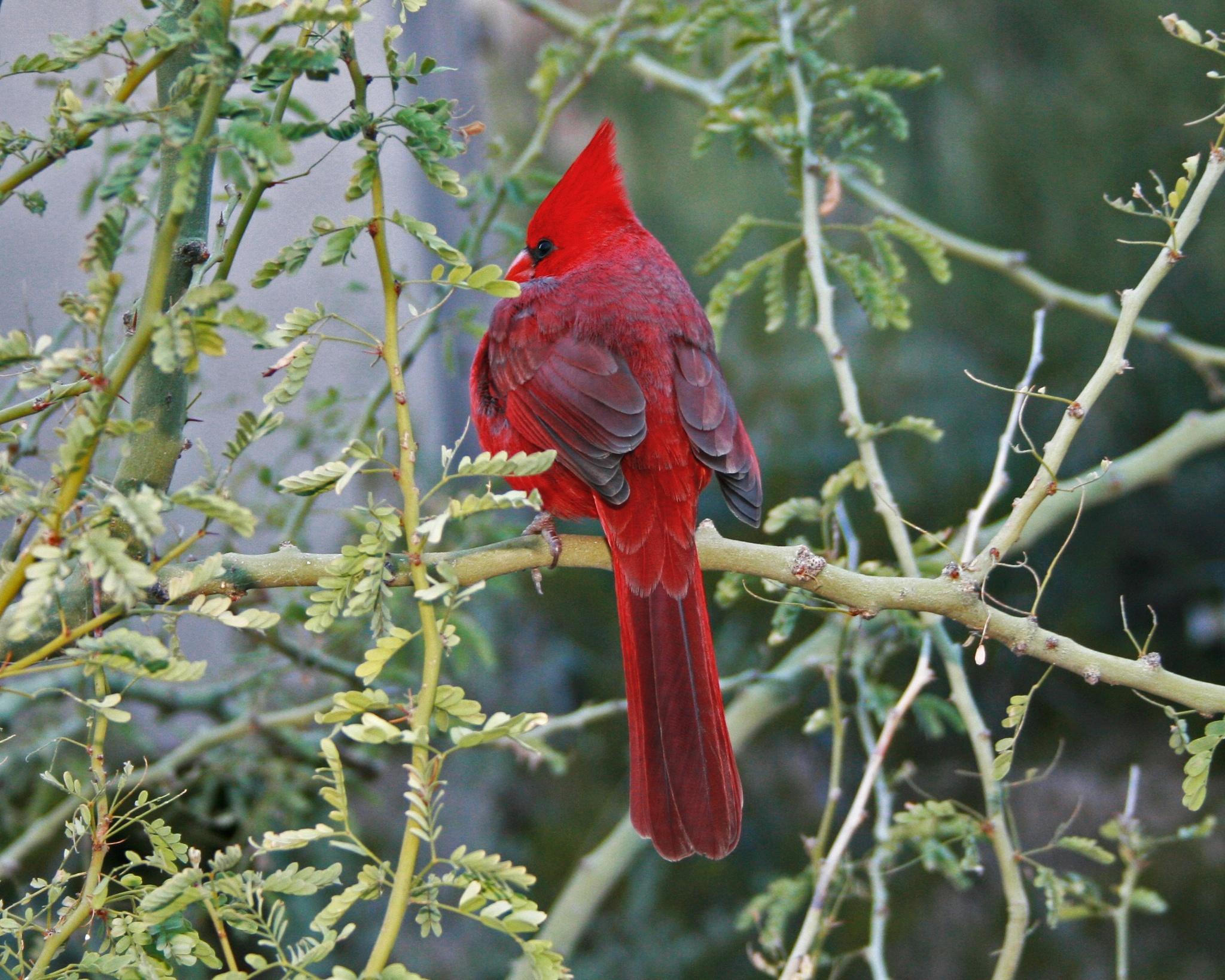 Cardinal by Lynda Clayton