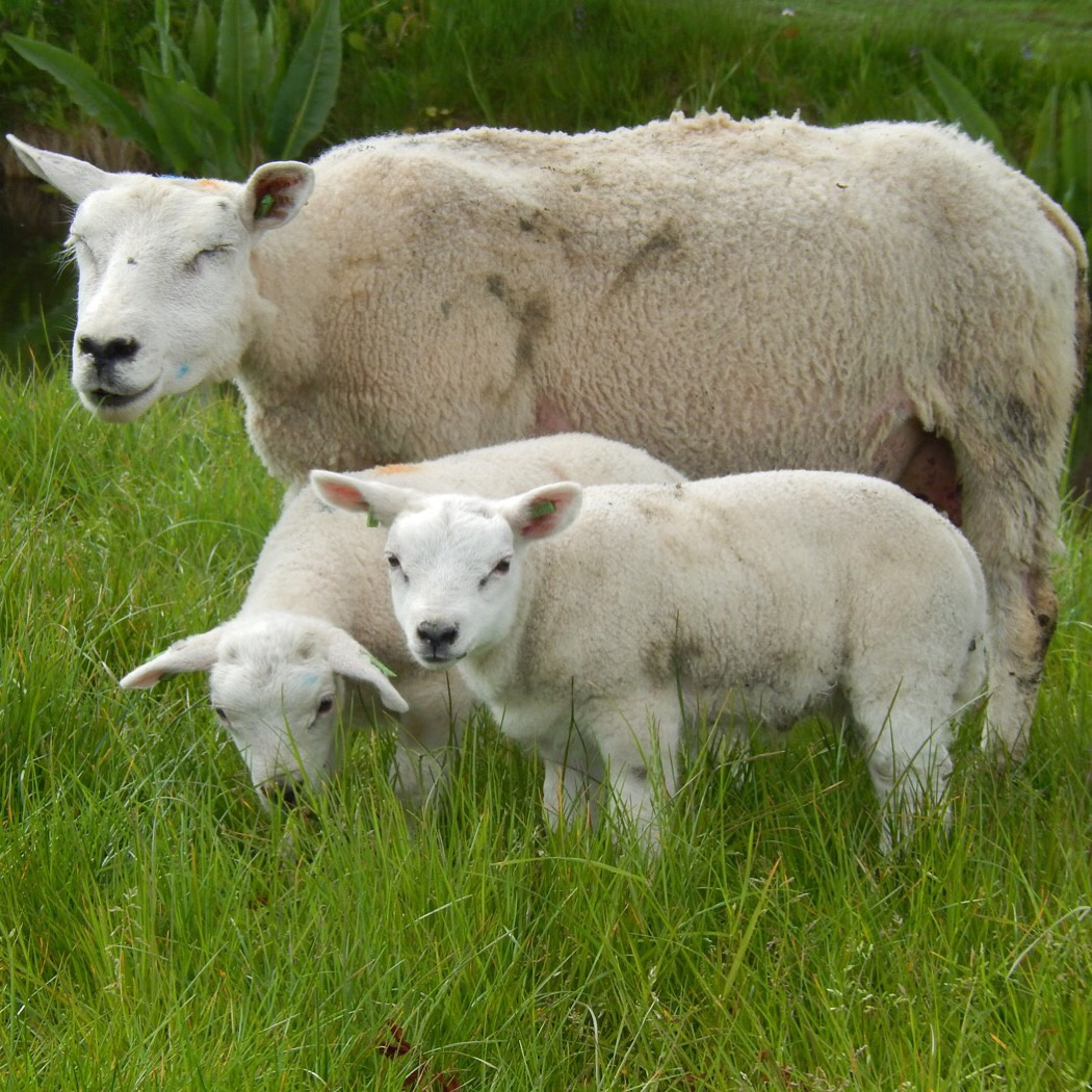 Photo in Random #sheep