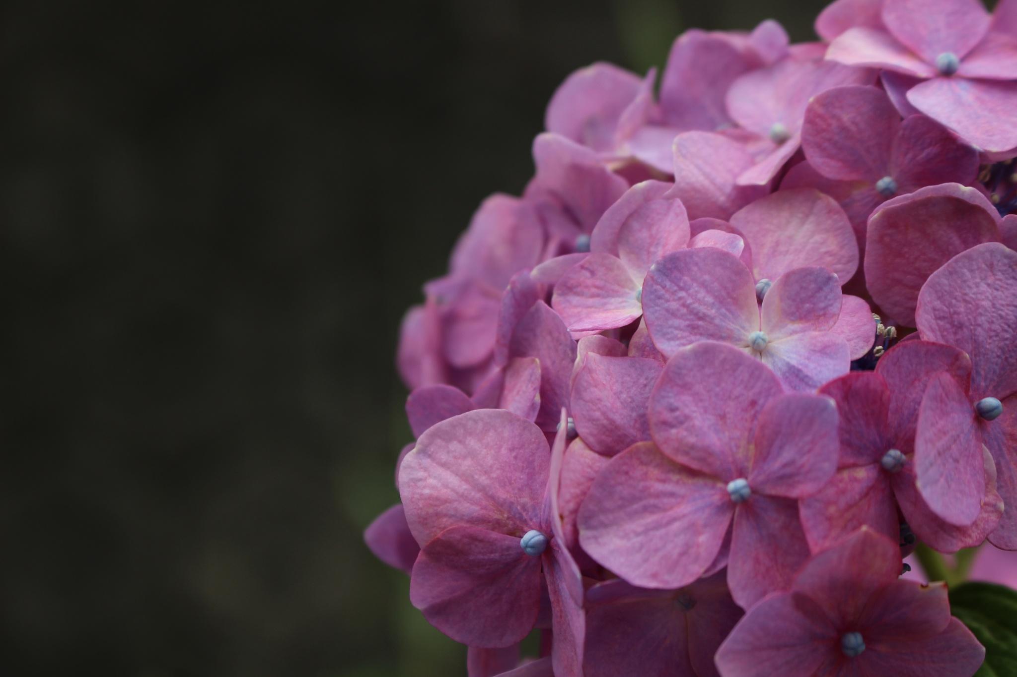 Photo in Nature #pink hydrangea #evening #garden #flower #nature