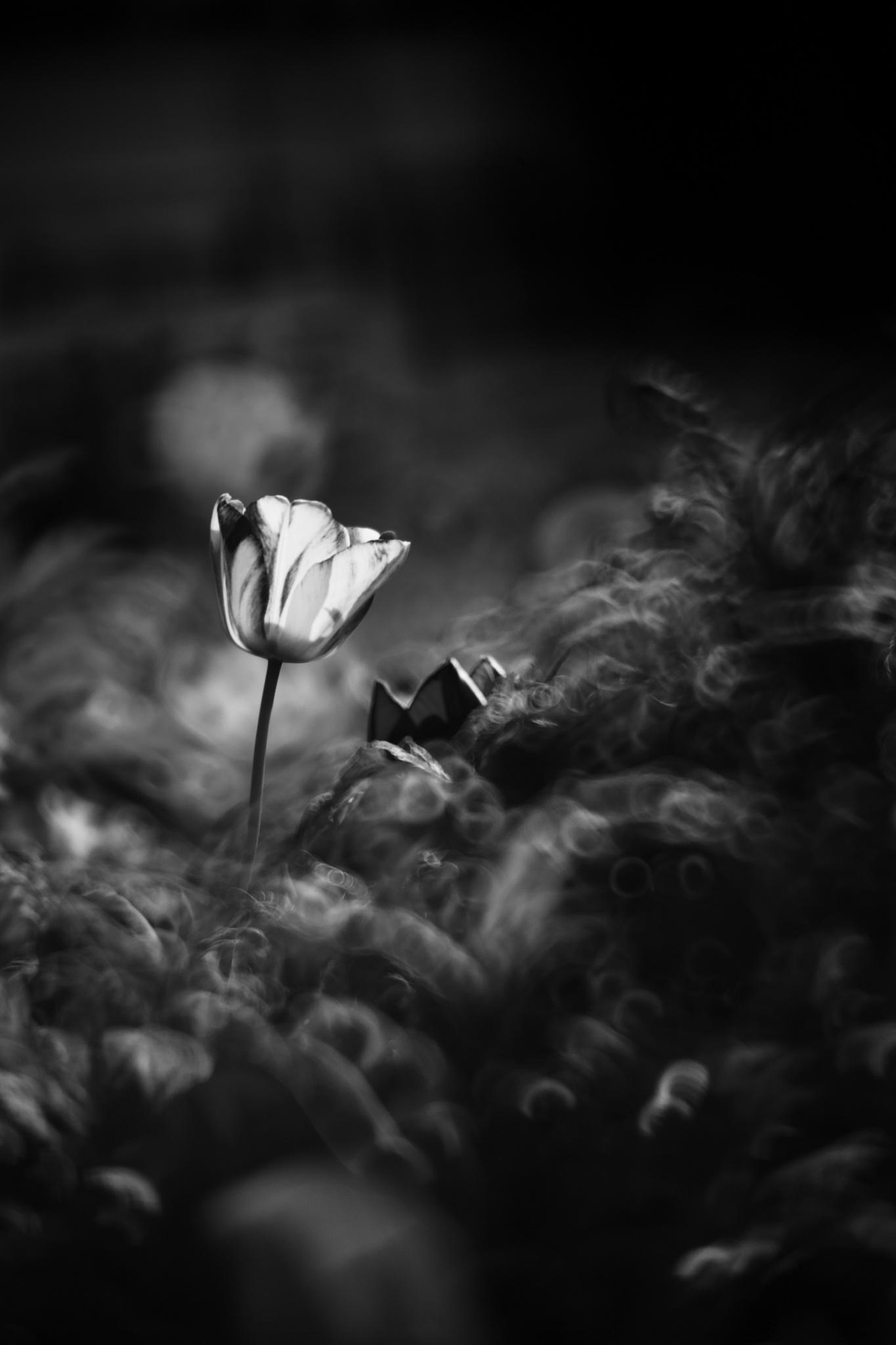 Photo in Nature #black and white #monochrome #tulip #travel
