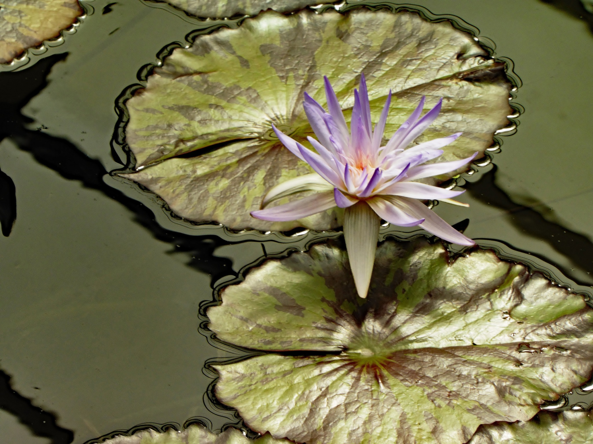 Water lily by Alan Gaines