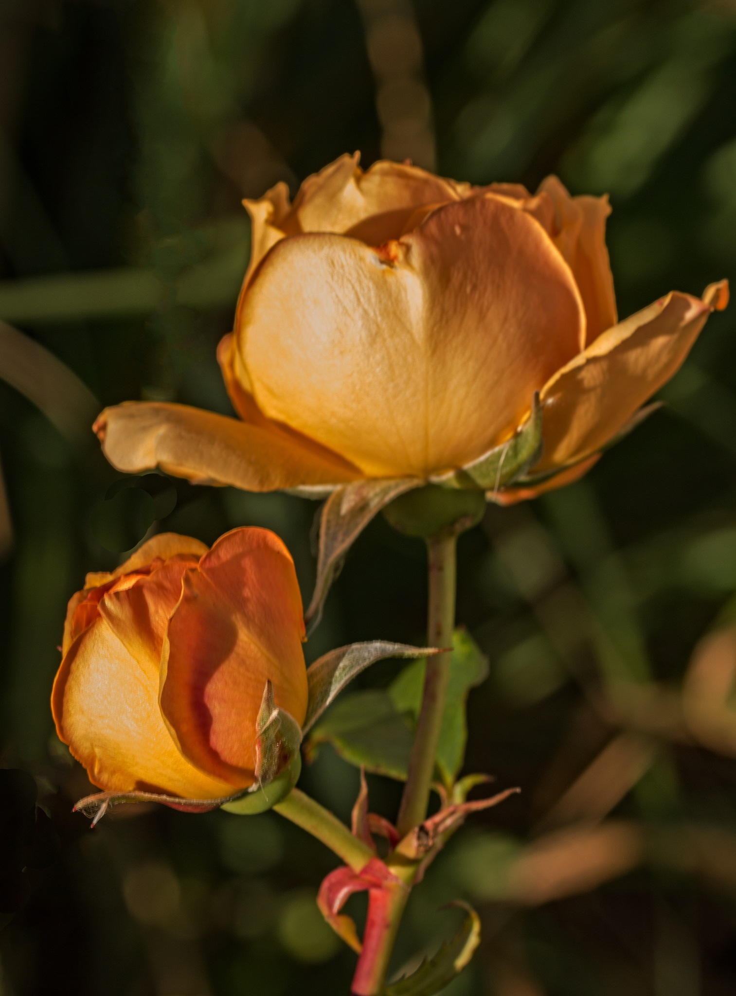 Sunlit Rose  by Alan Gaines