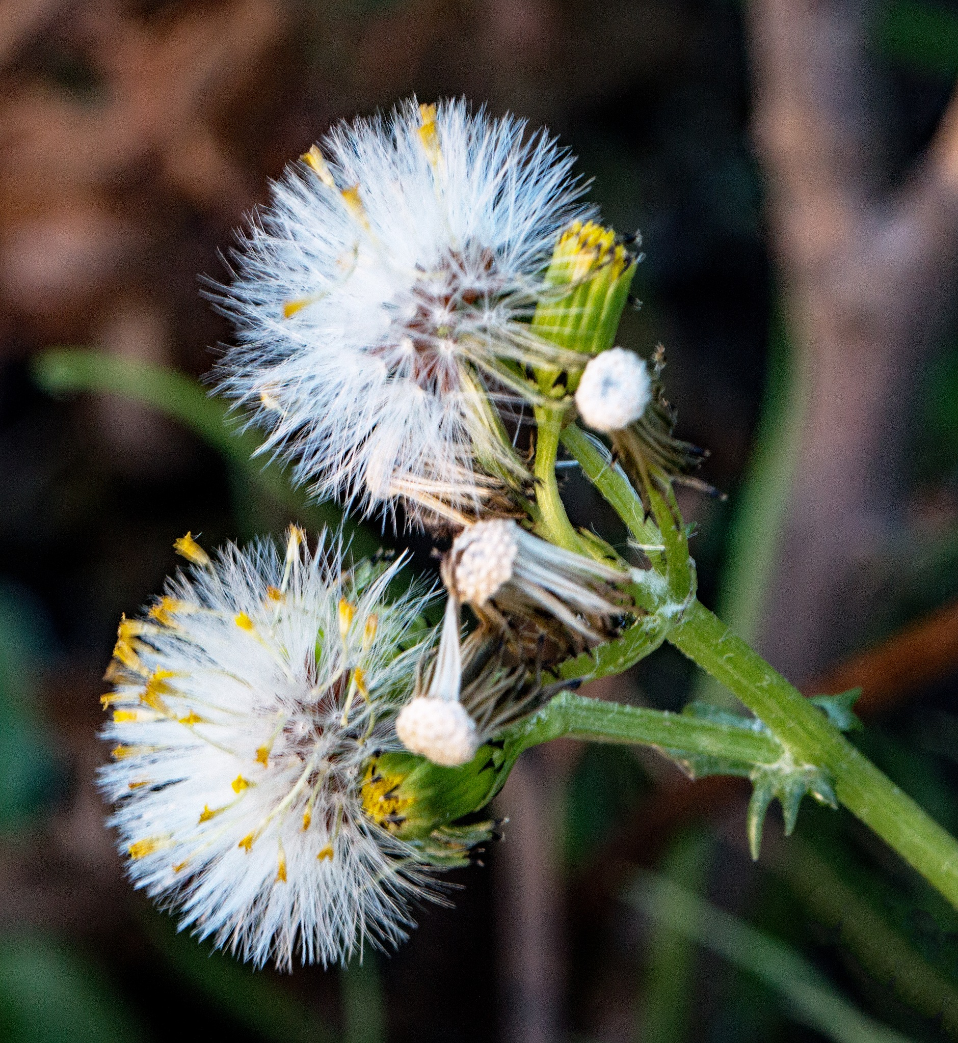 Groundsel by Alan Gaines