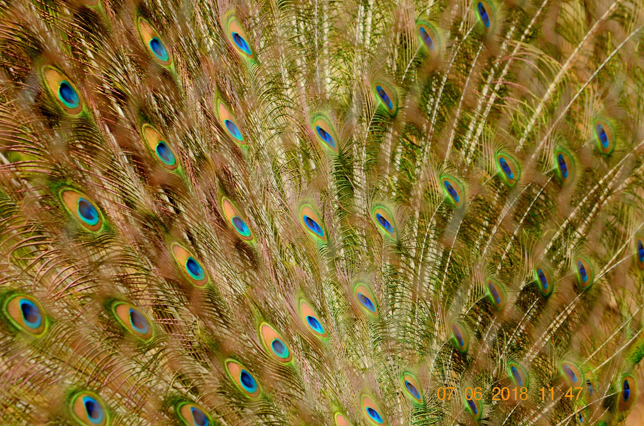 The feathers by Sunil