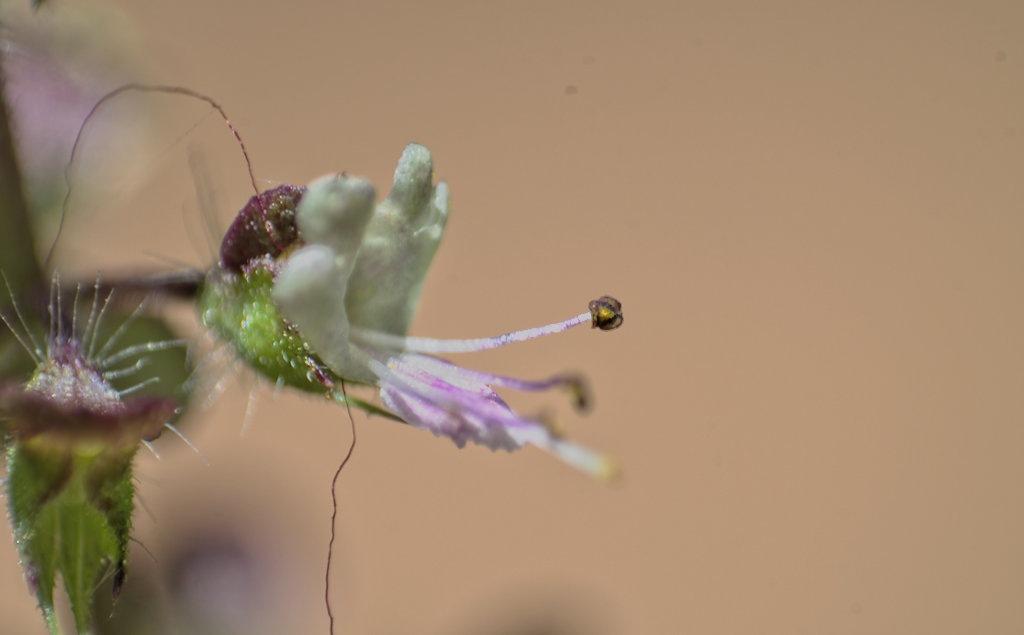 Beautiful Basil flower by Sunil