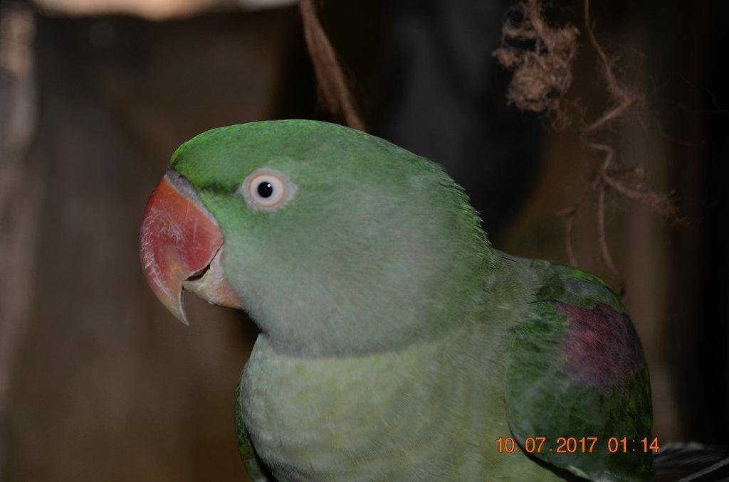 Parakeet -A closeup by Sunil