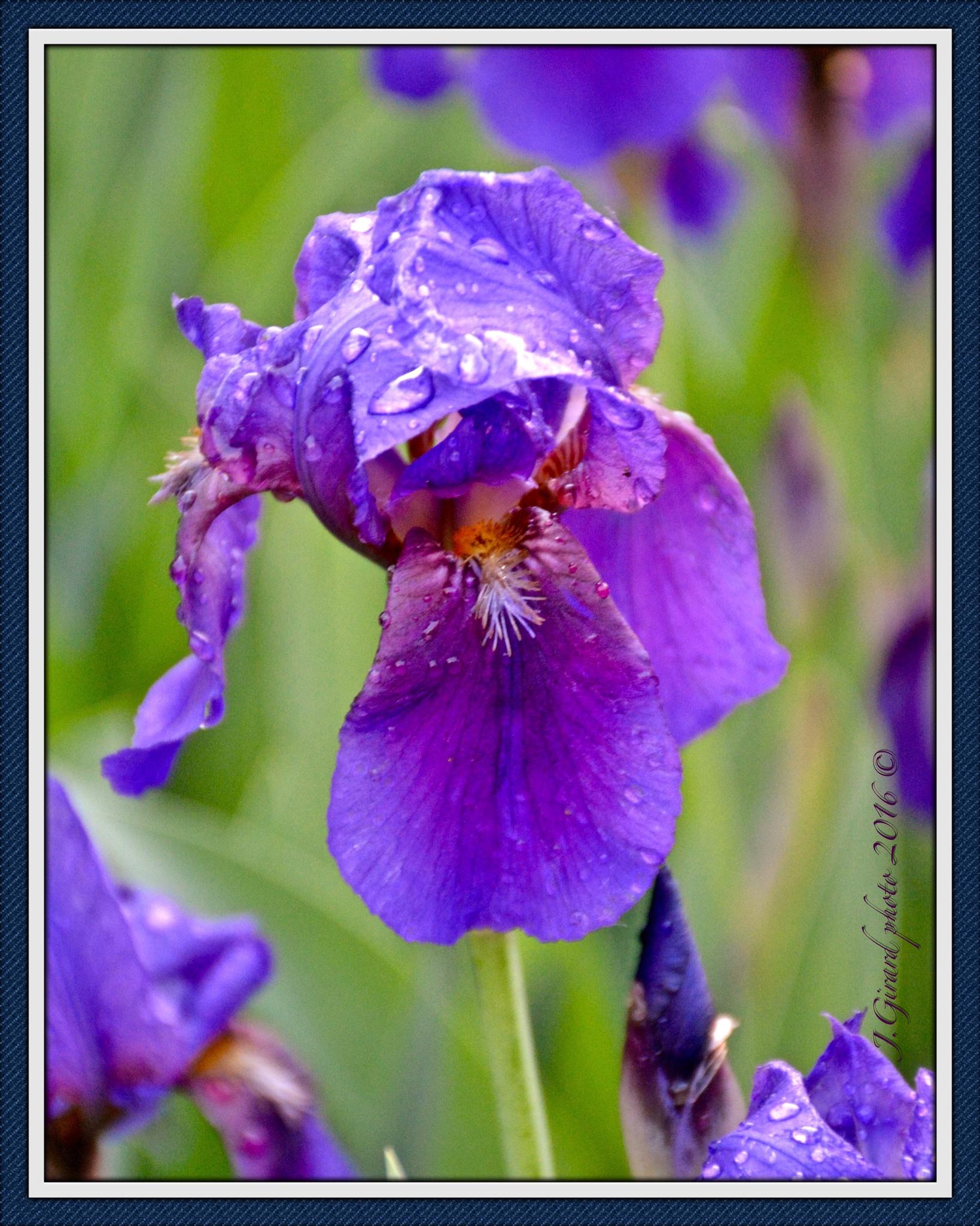 Iris by Jacques Girard