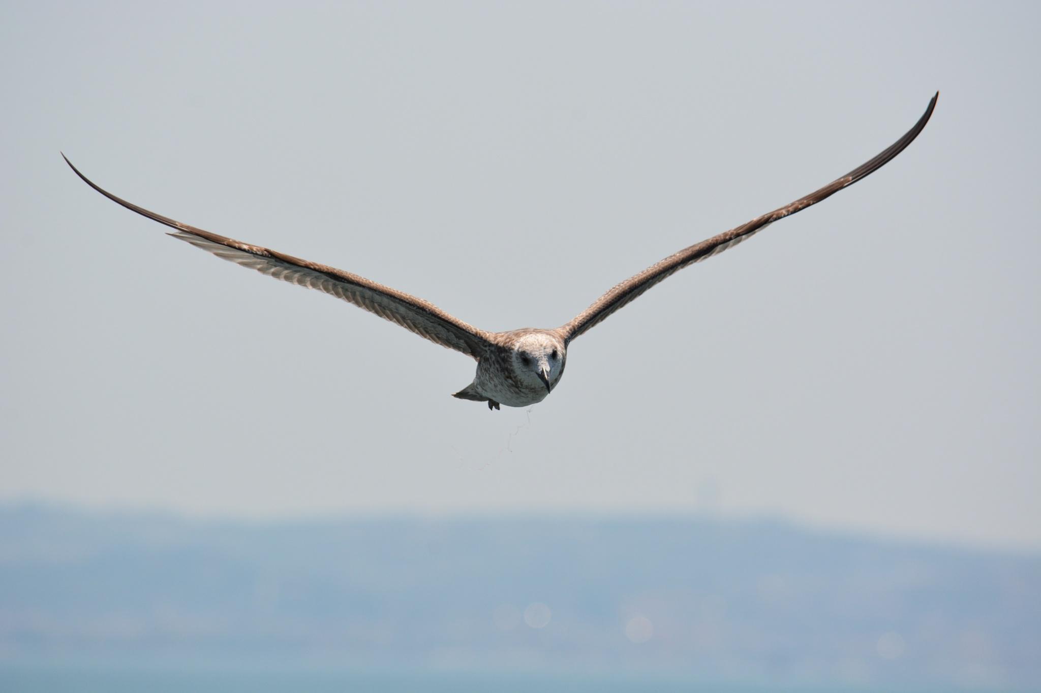 Photo in Animal #seagul #flight #nikon