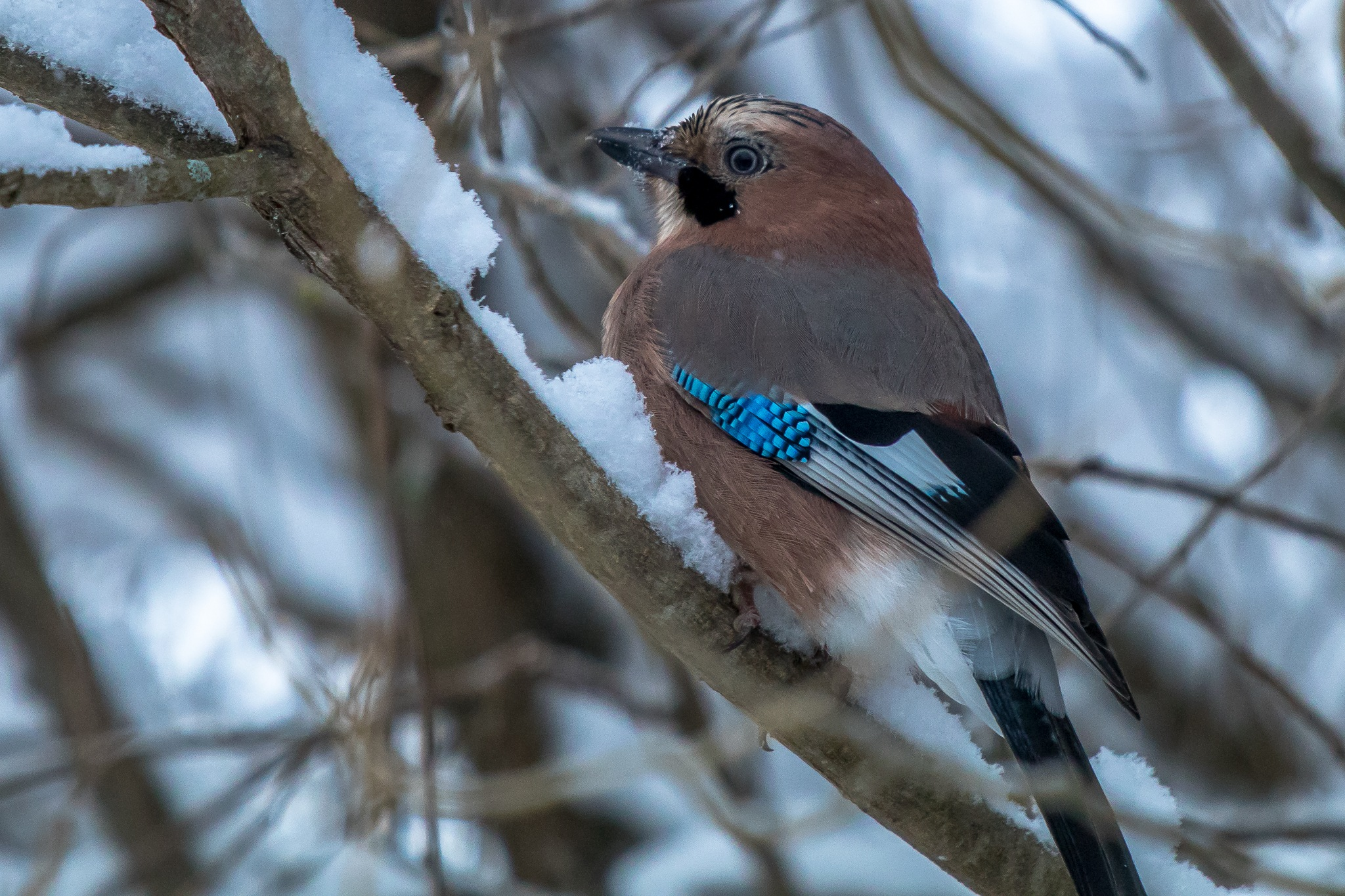 Jay by Anne_V
