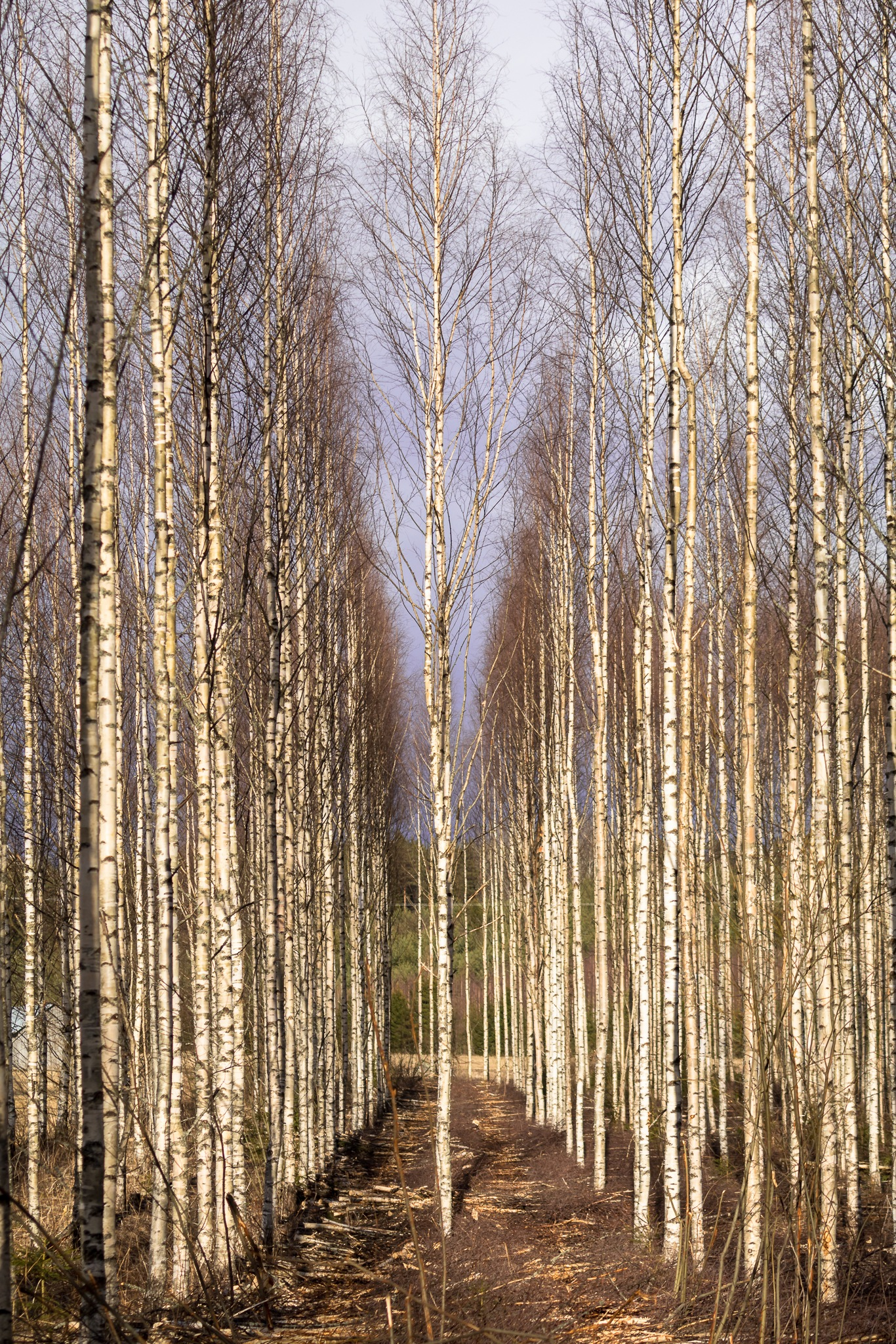 Birch forest in early spring by Anne_V