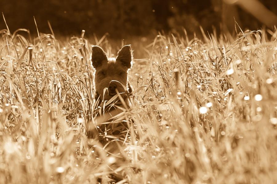 Welsh terrier Vilppu in field by Anne_V