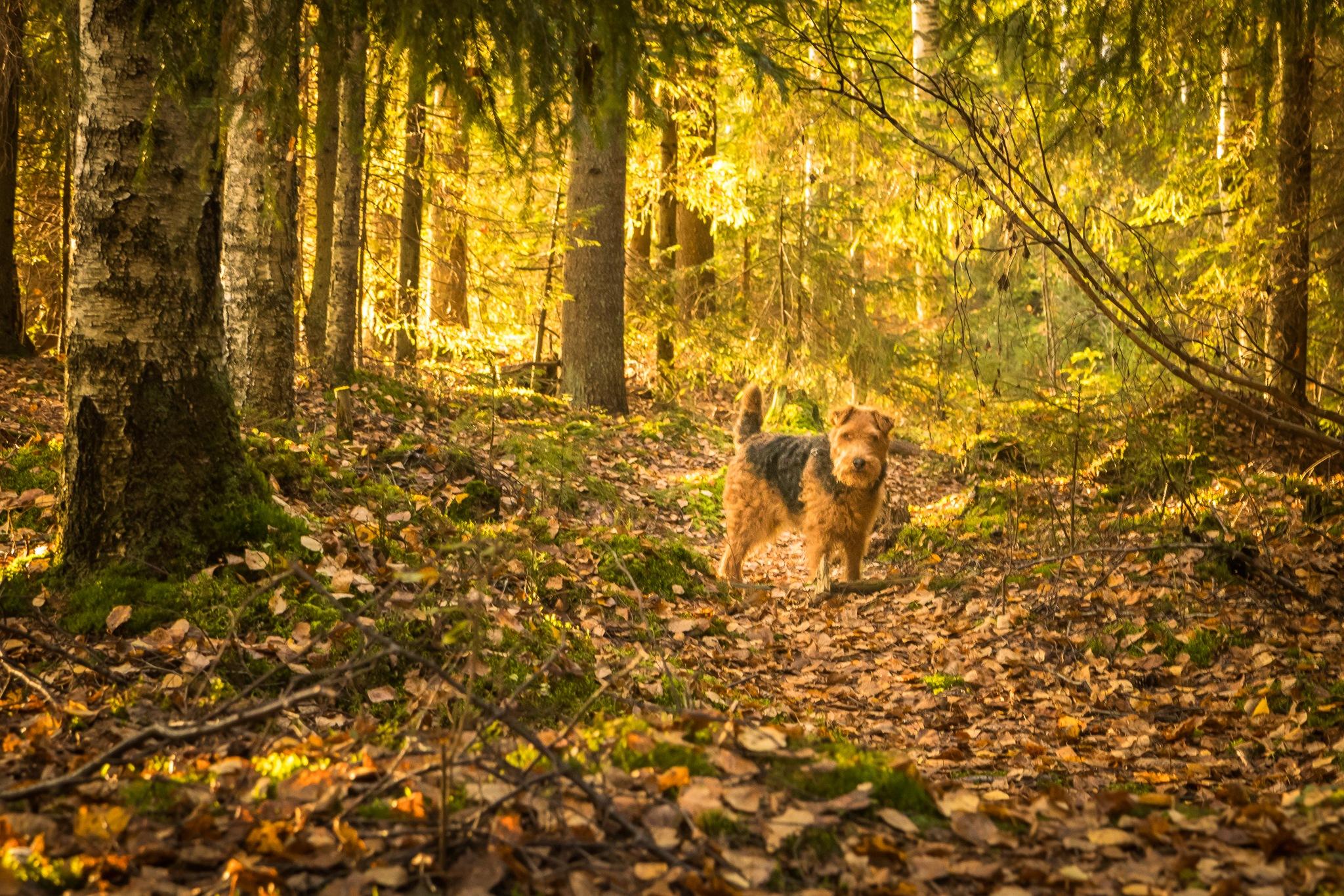 Vilppu in autumn woods by Anne_V