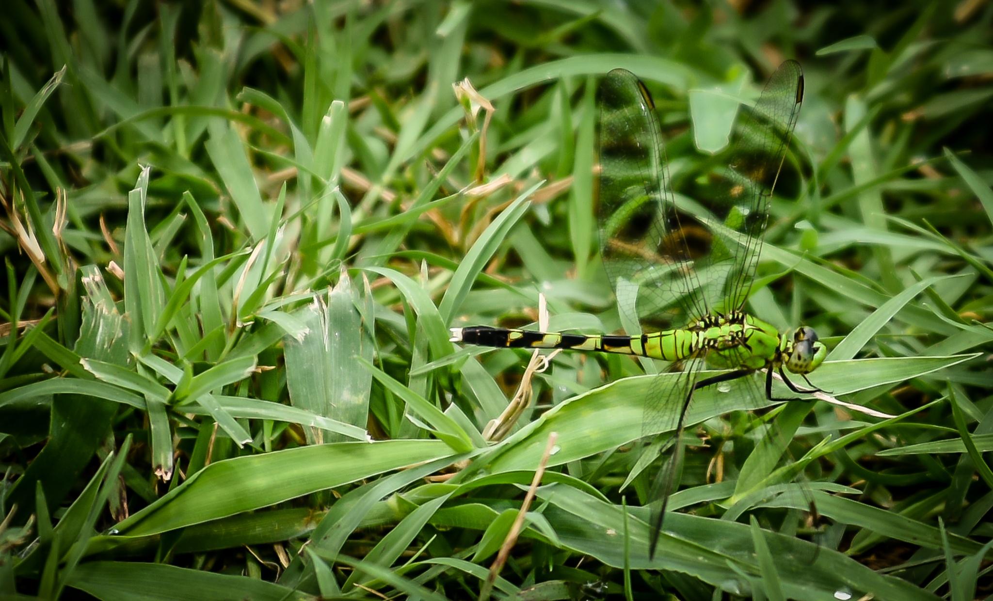 Camo Dragonfly by RWM