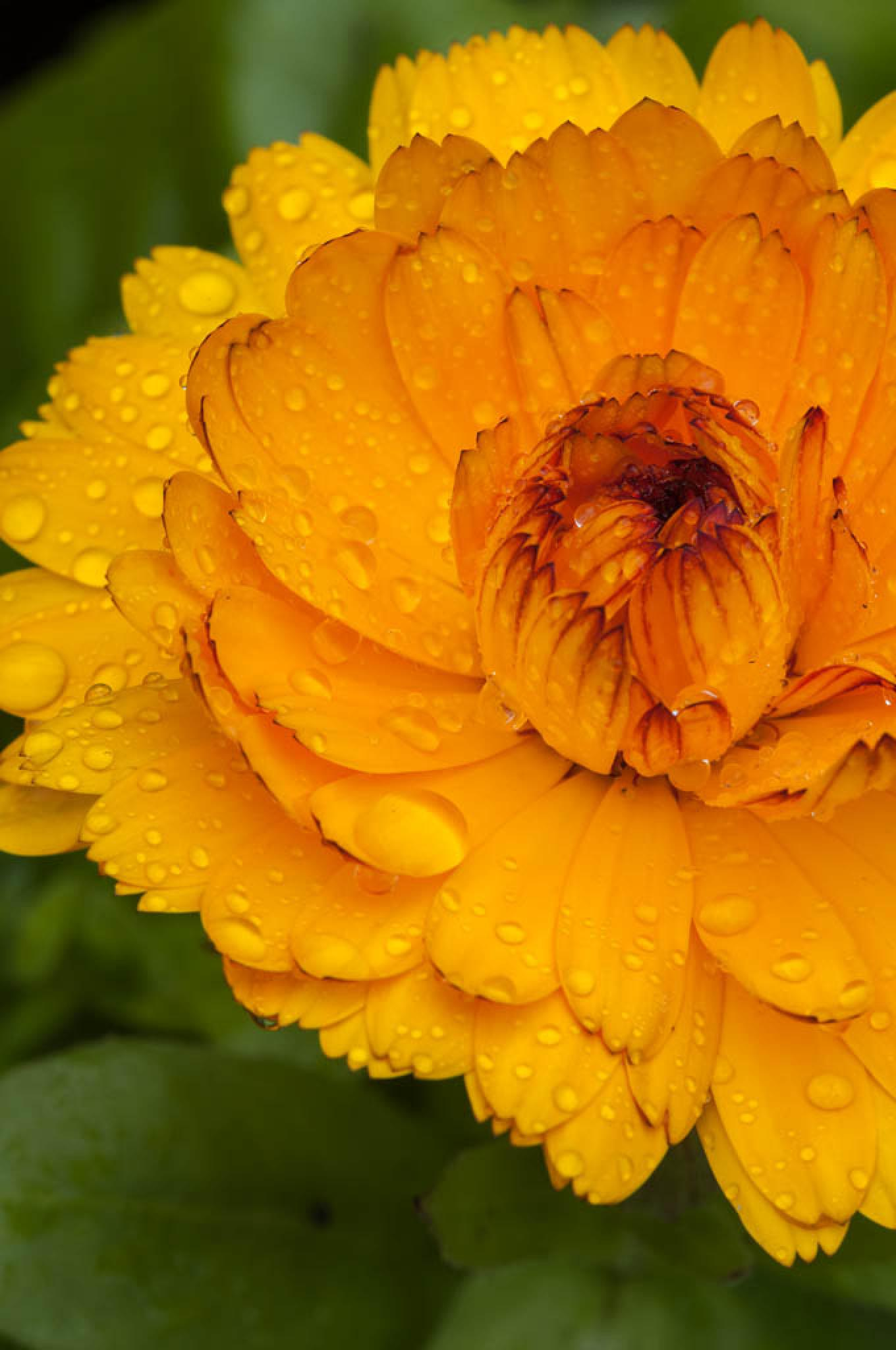 "Marigold (Calendula Officinalis) by David ""HAJES"" Hájek"