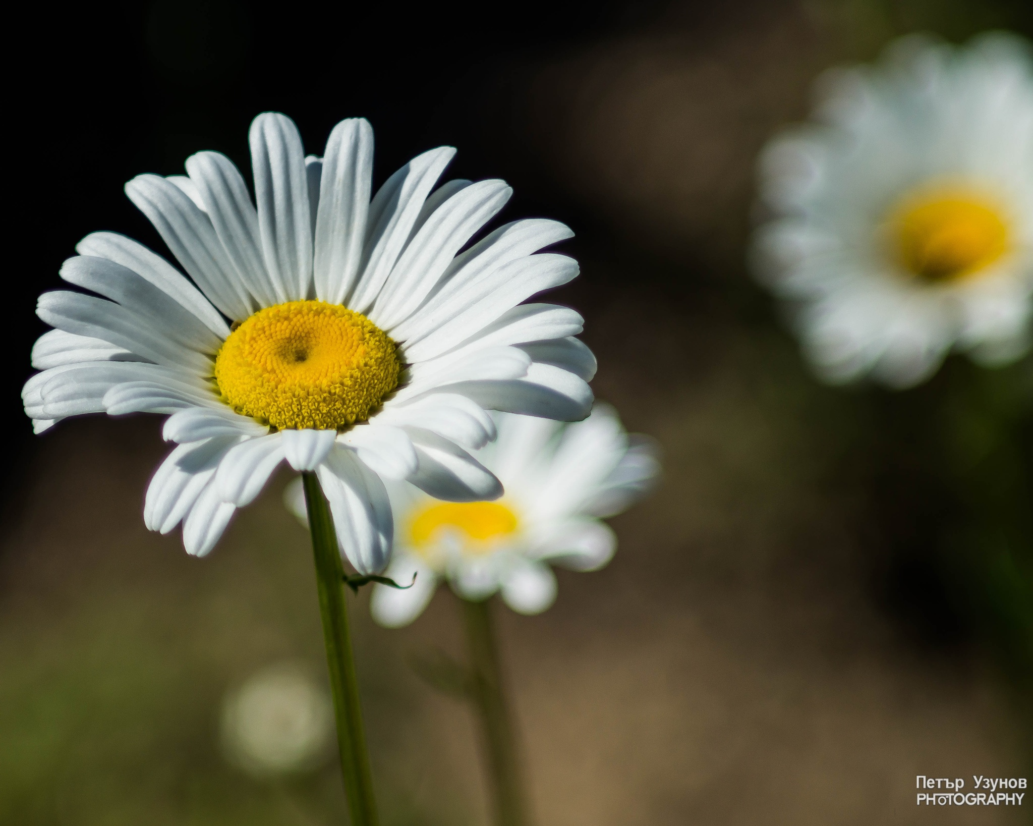 Photo in Nature #daisies #flowers