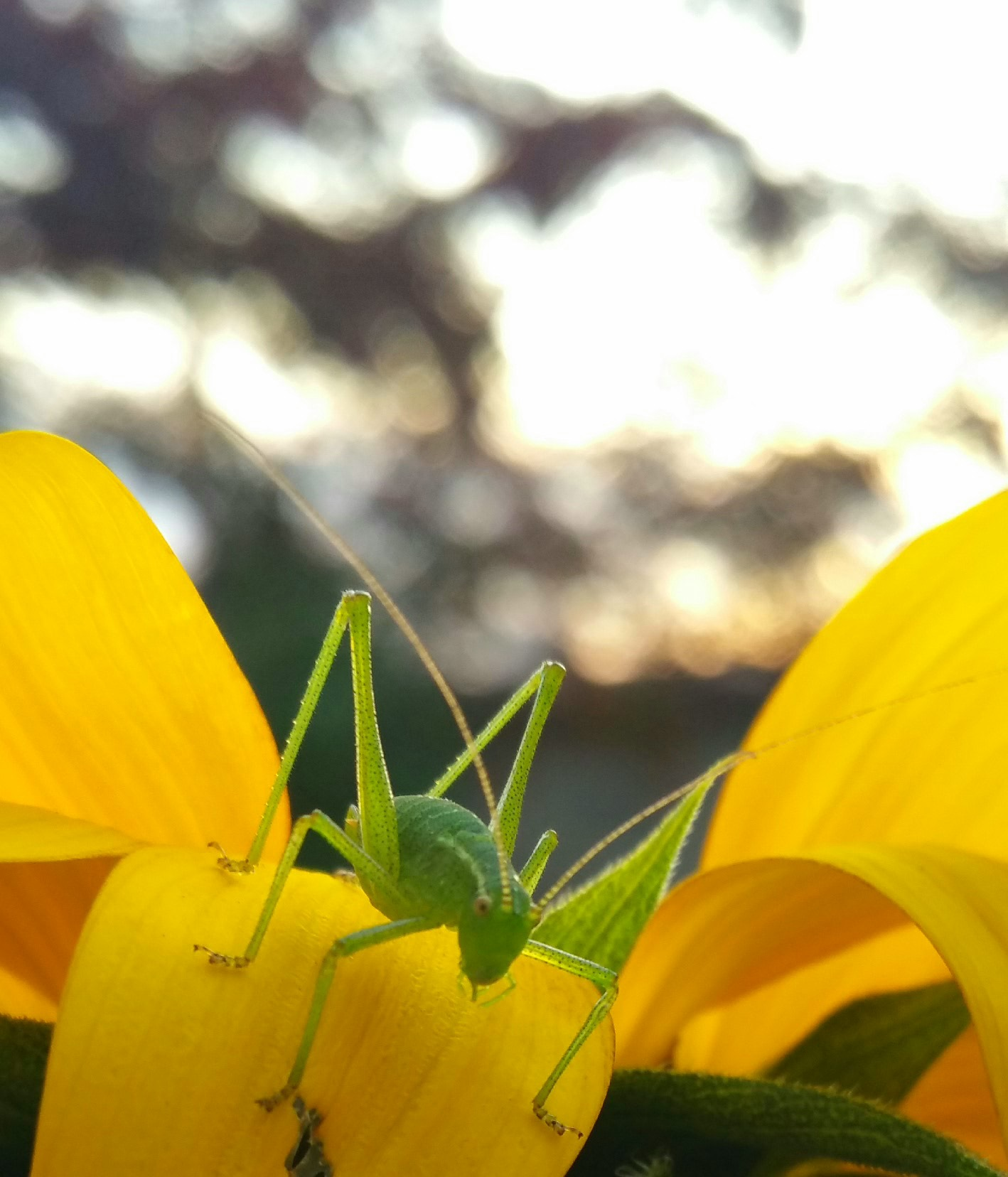 Grasshopper on a sunflower by StudioAnjaPhotography