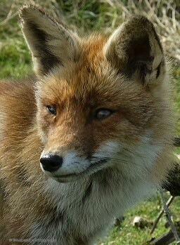 fox close up by StudioAnjaPhotography
