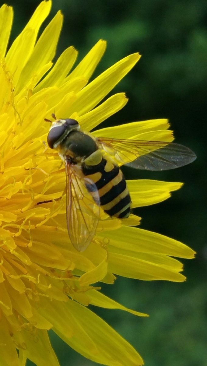 Bee by StudioAnjaPhotography