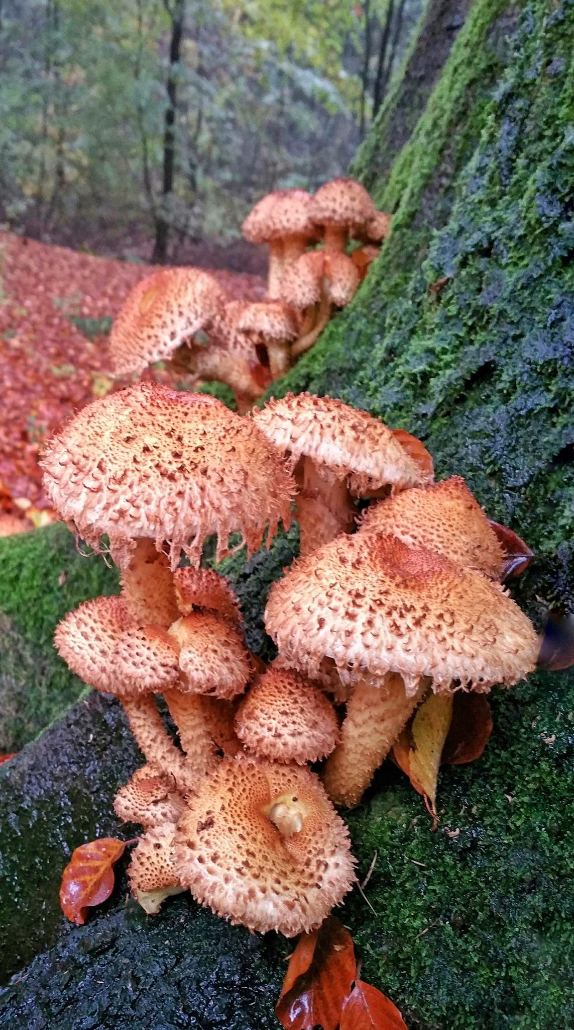 Mushroom Schubbige bundelzwam by StudioAnjaPhotography