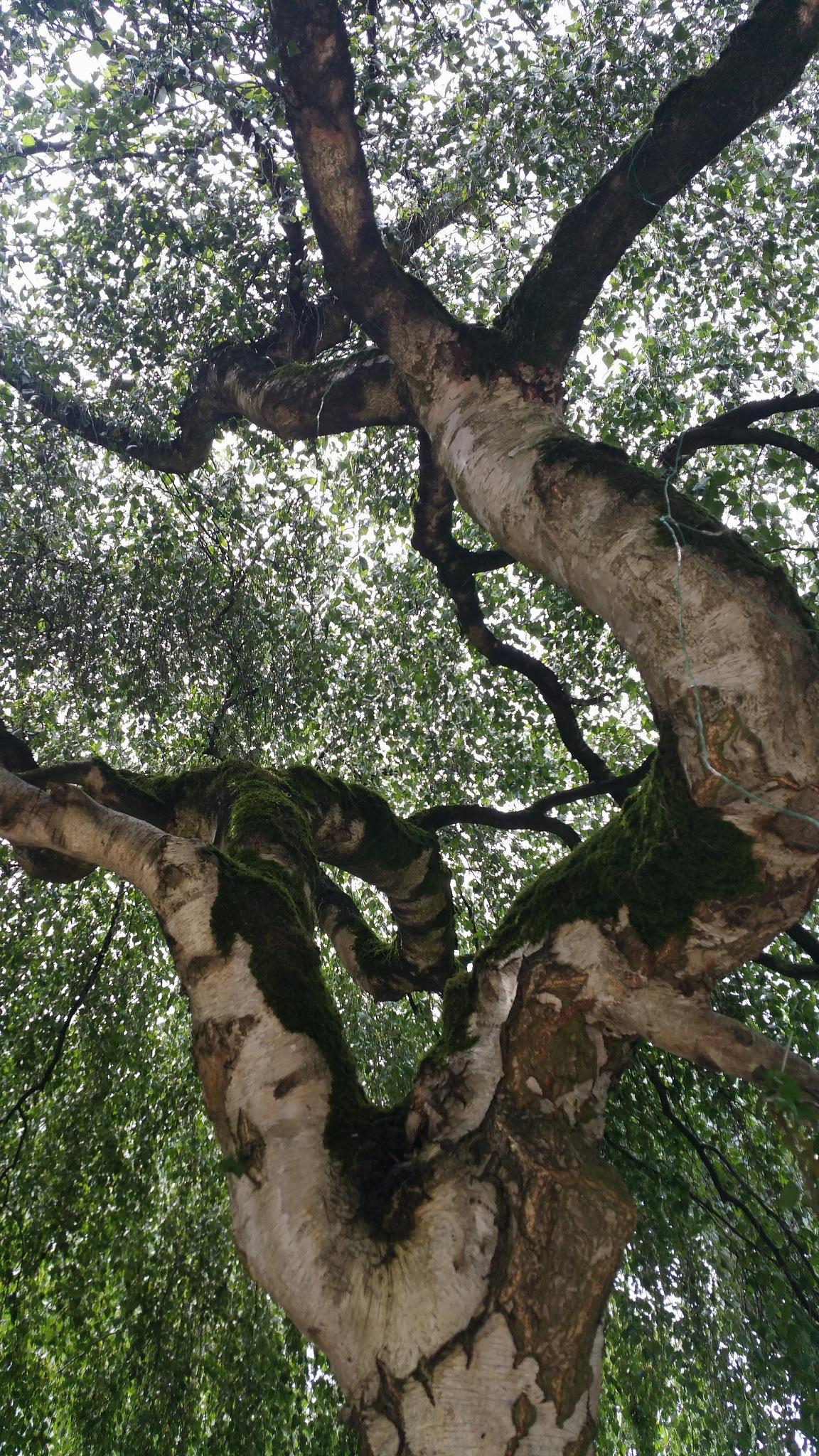 birch tree with moss by StudioAnjaPhotography