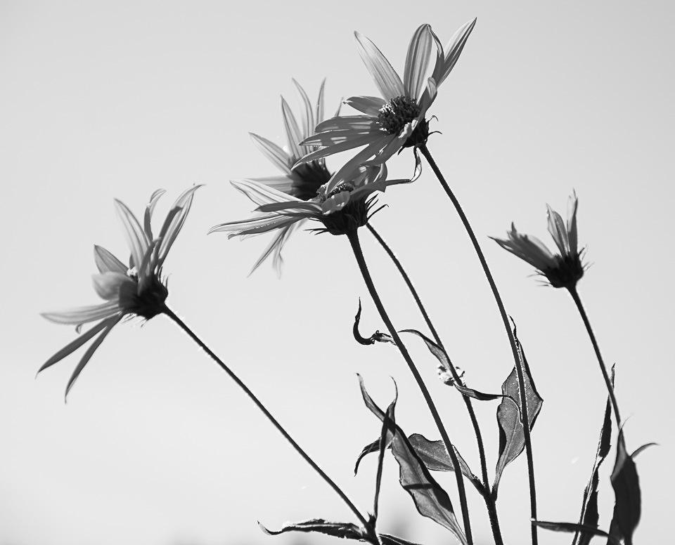 sunflowers  by heidi_tuulia