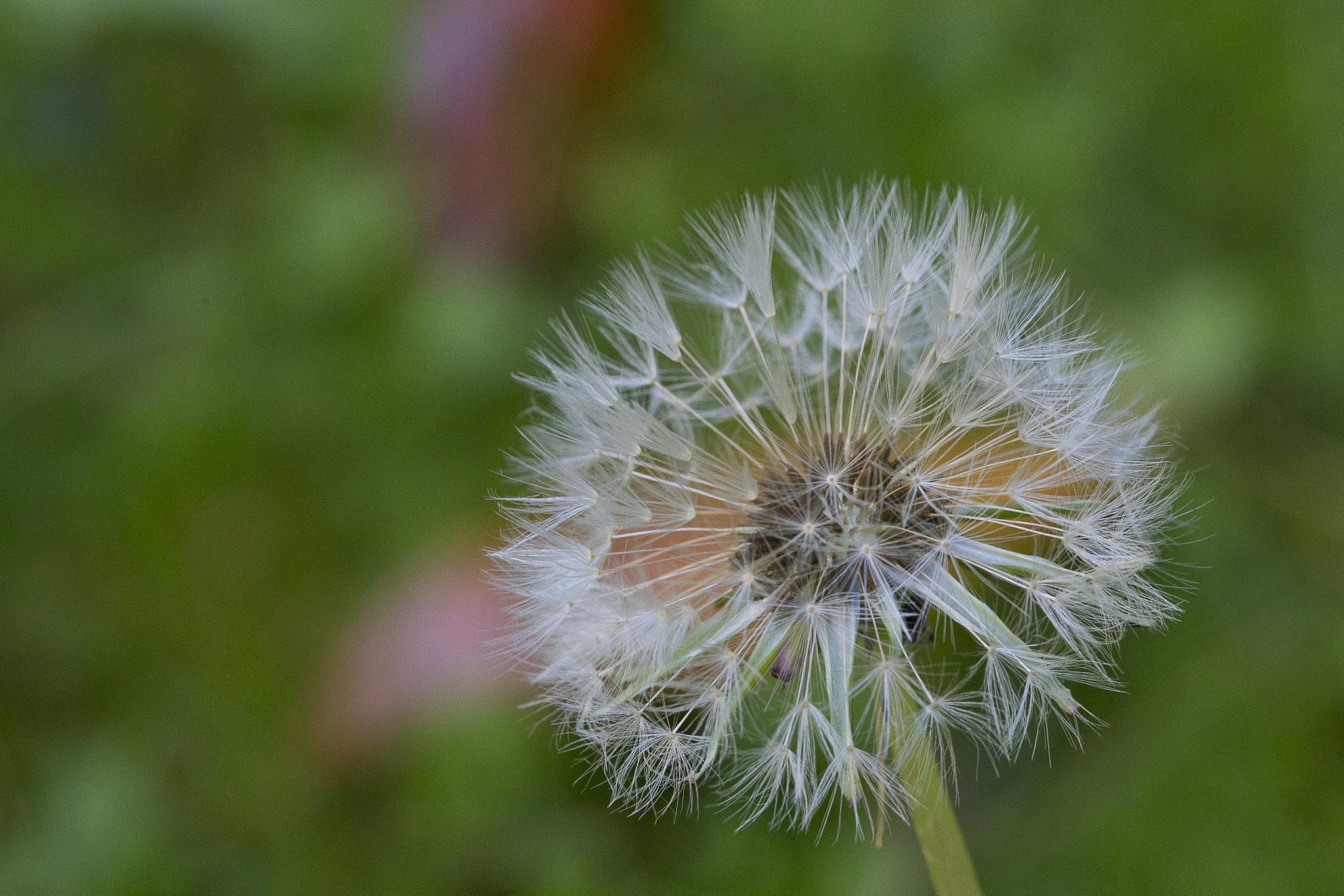 Photo in Macro #dandelion #soffione