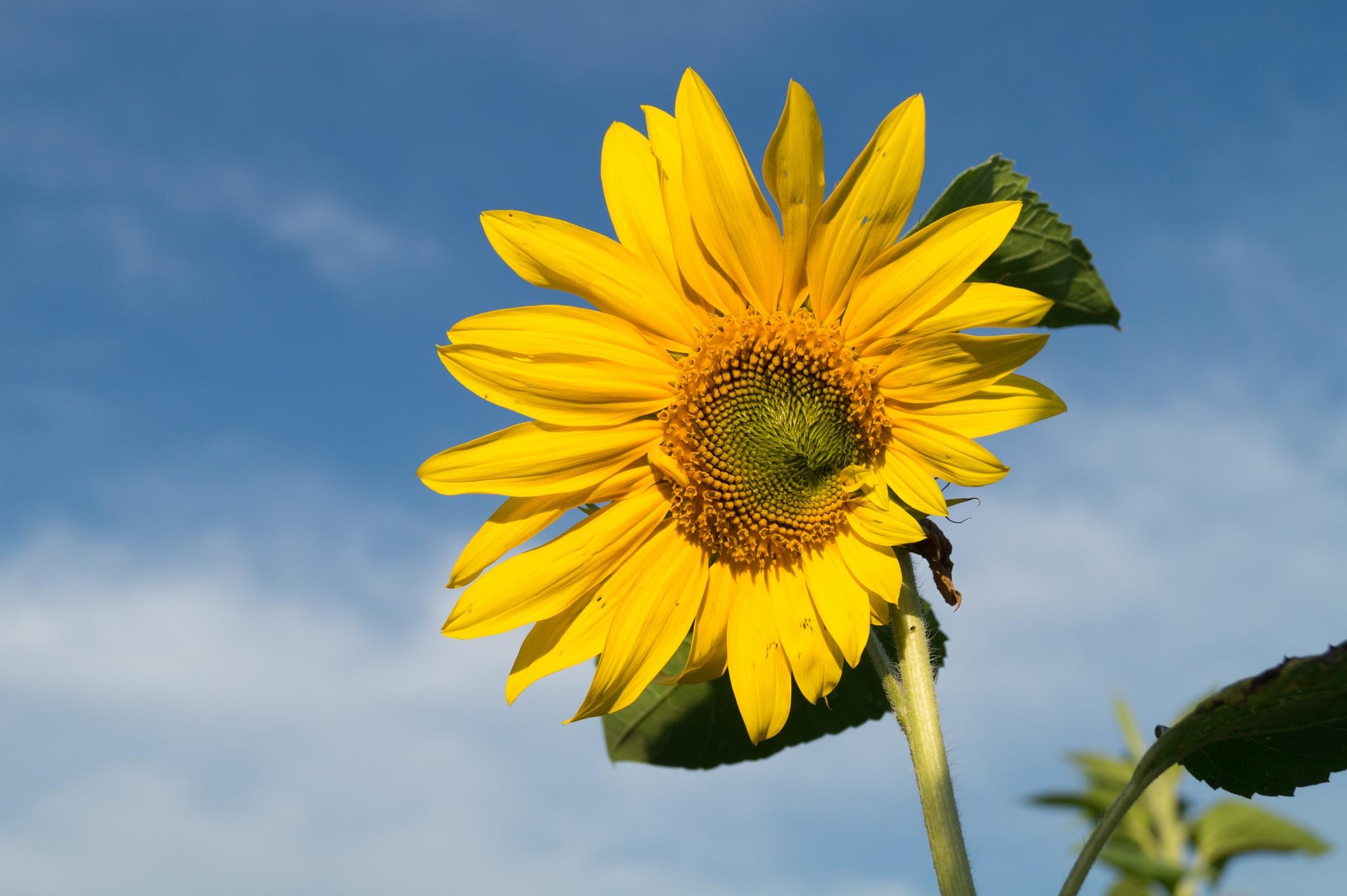 Sunflower / Sonnenblume by karibikadler