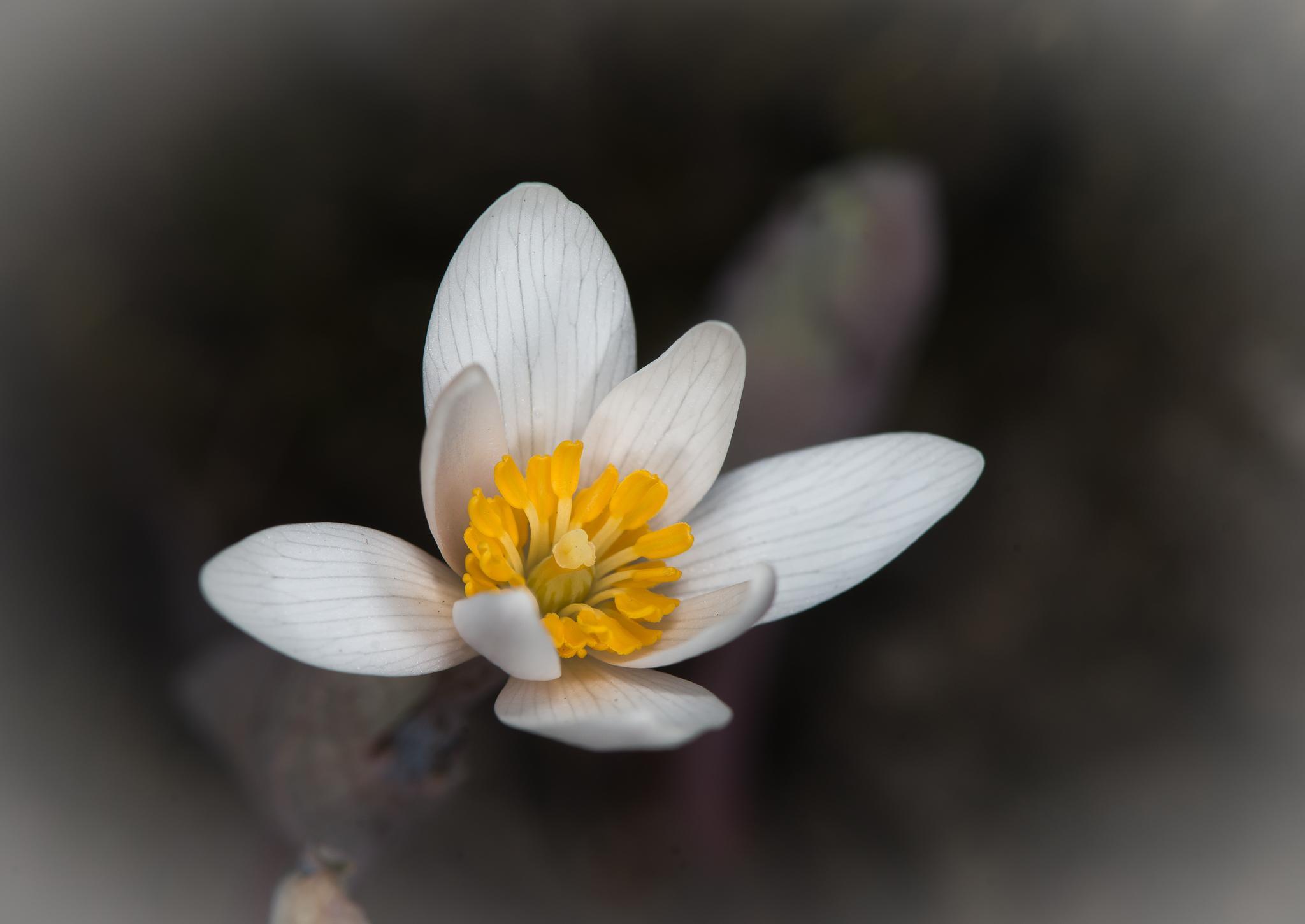 Sanguinaria canadensis by ErikLerbaek