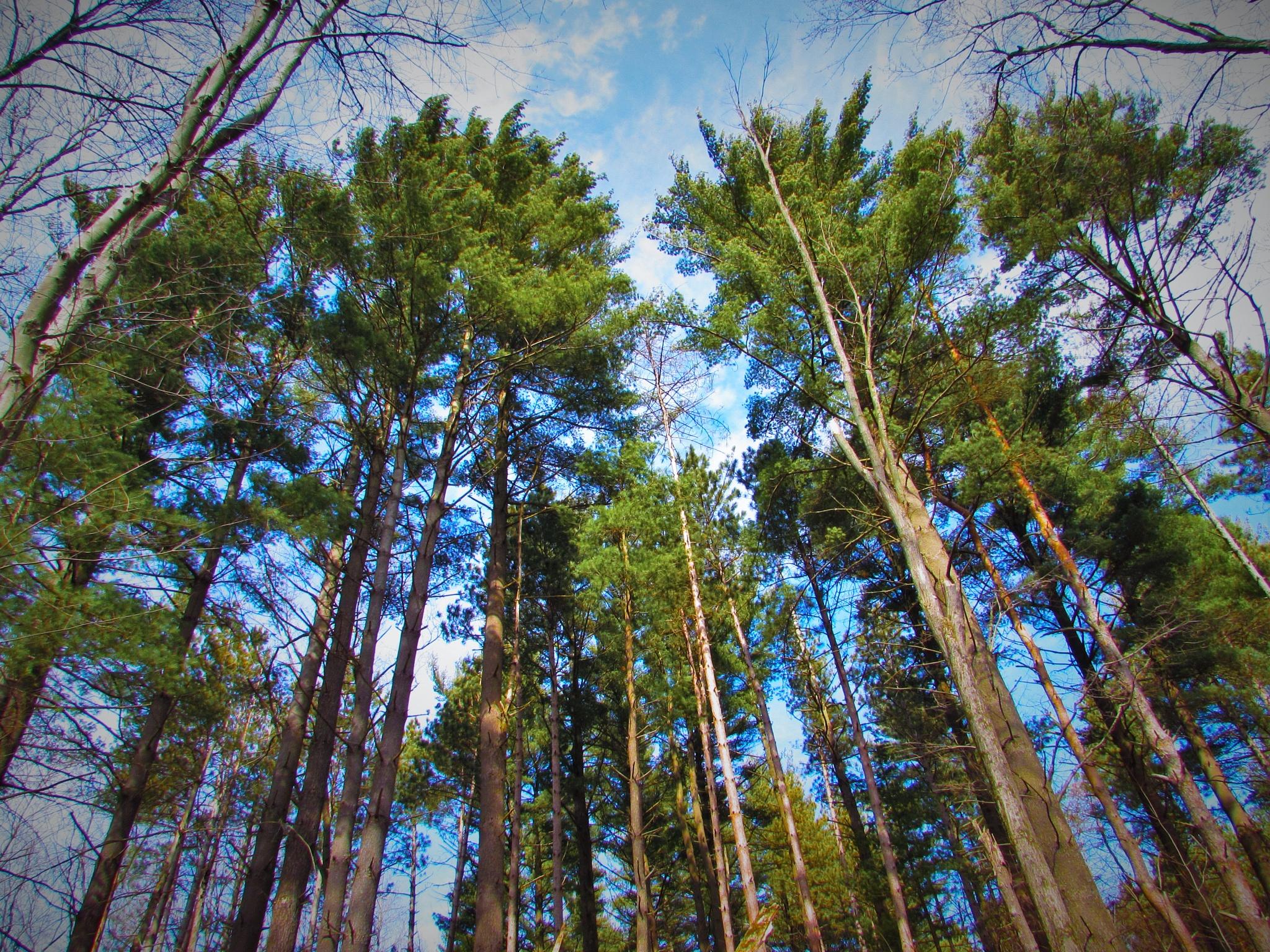 Big Pines  by TeresaMercer
