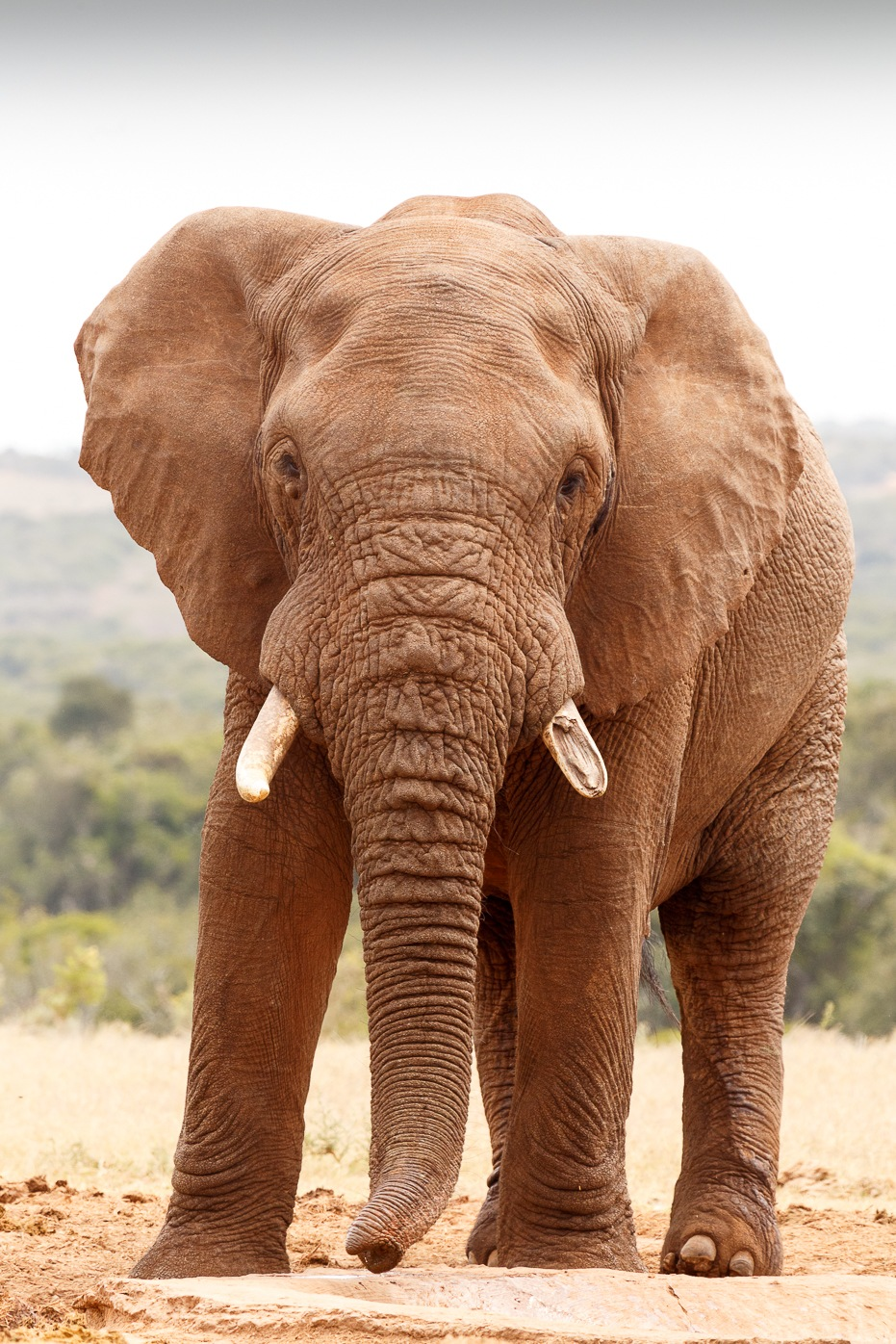 African Bush Elephant looking straight at you by Charissa de Scande Lotter