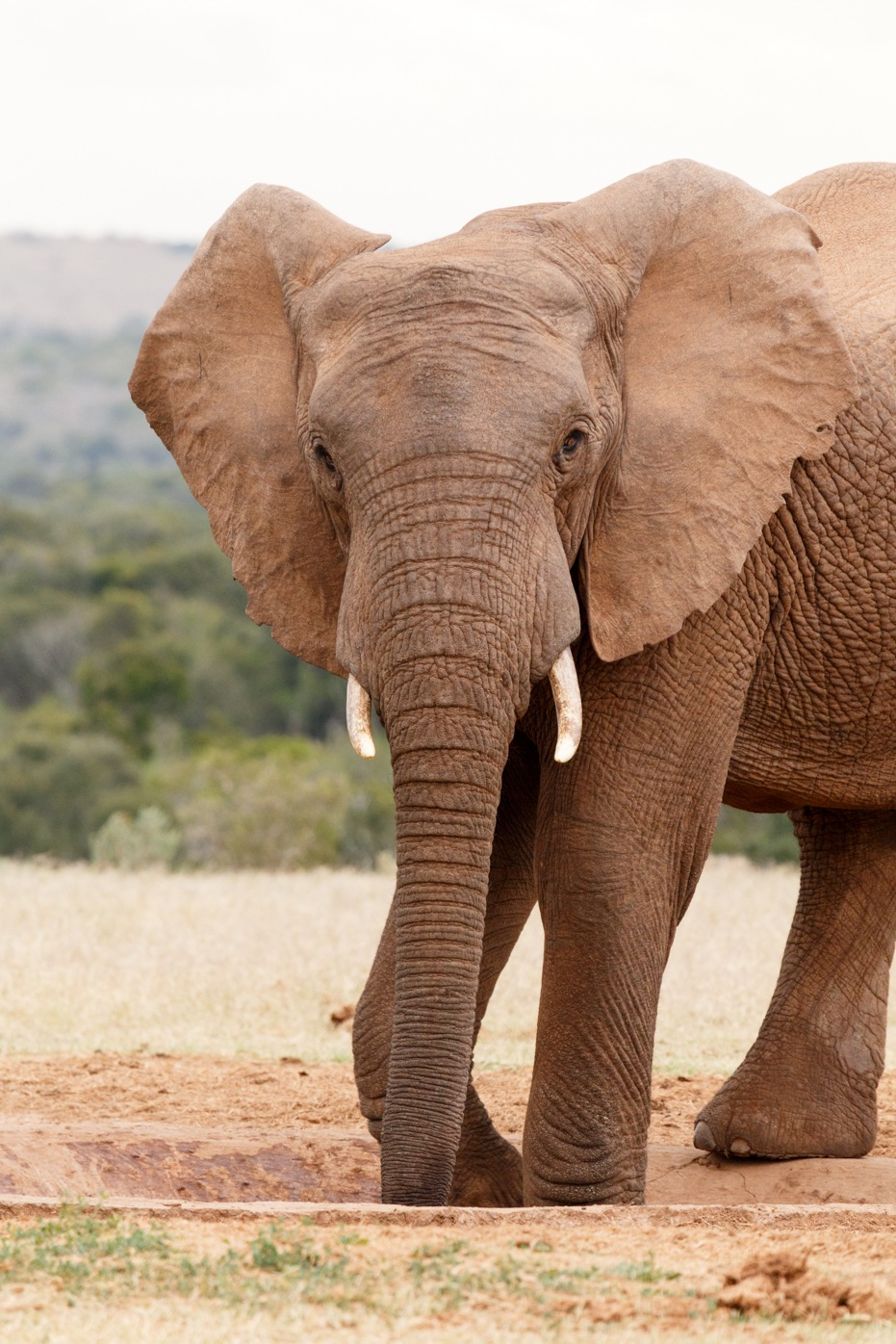 Elephant Standing and Posing while drinking water by Charissa de Scande Lotter
