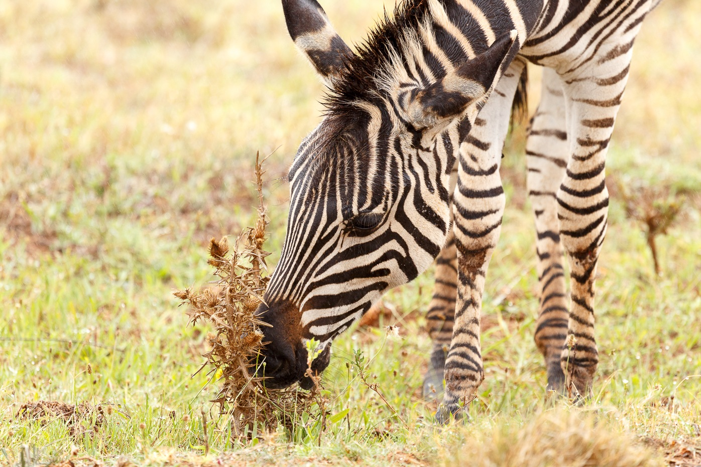 Zebras bending down to eat a dry flower by Charissa de Scande Lotter