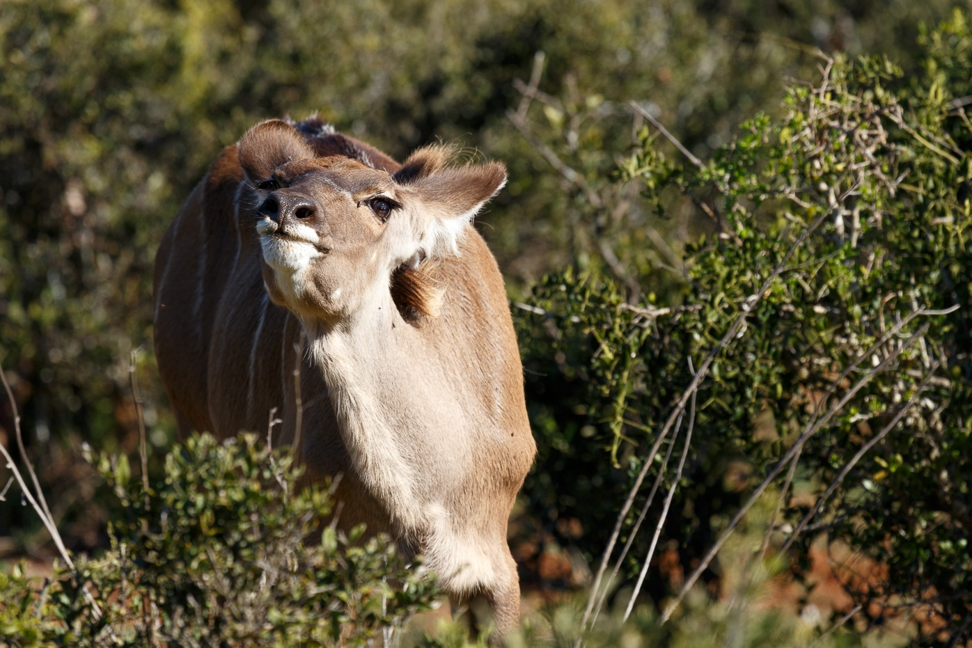 Female Kudu standing and smelling the air  by Charissa de Scande Lotter