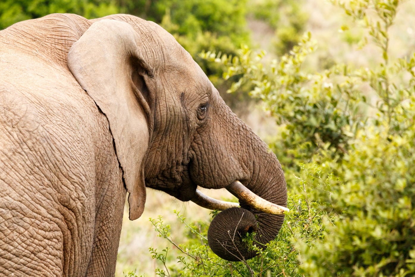 Elephant with curled up trunk by Charissa de Scande Lotter