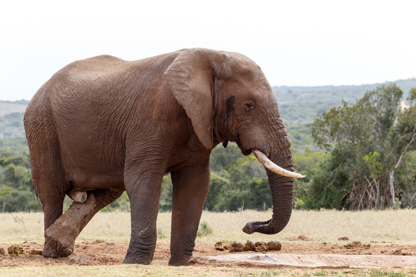 Bush Elephant crossing his legs at the watering hole by Charissa de Scande Lotter
