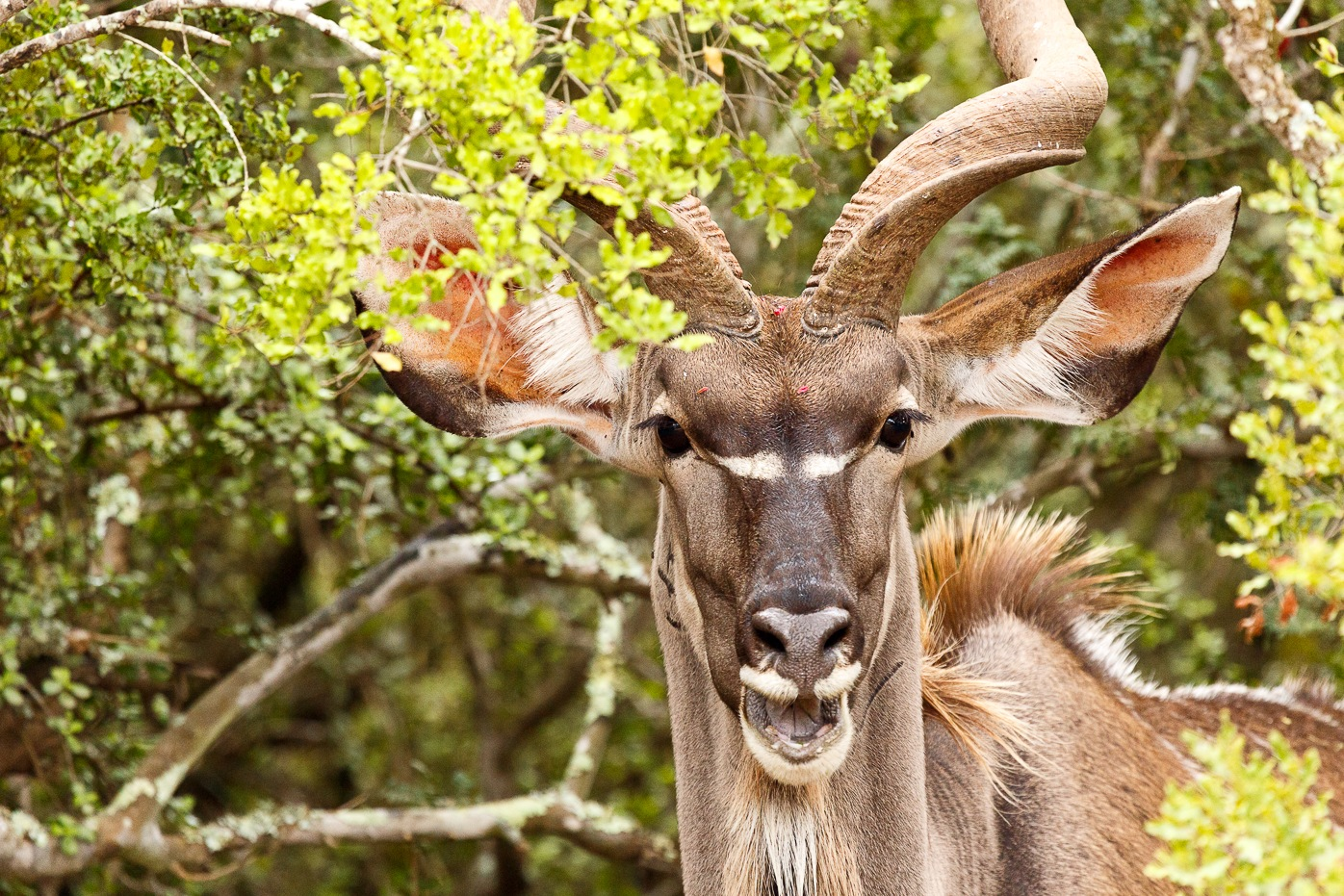 Greater Kudu laughing at you by Charissa de Scande Lotter