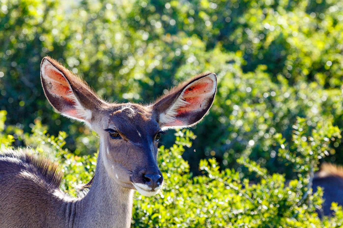 Kudu standing and looking at the camera by Charissa de Scande Lotter