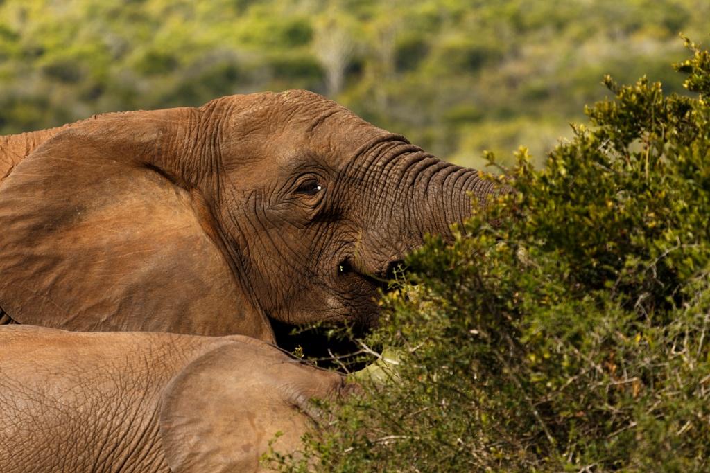 African Bush Elephant by Charissa de Scande Lotter