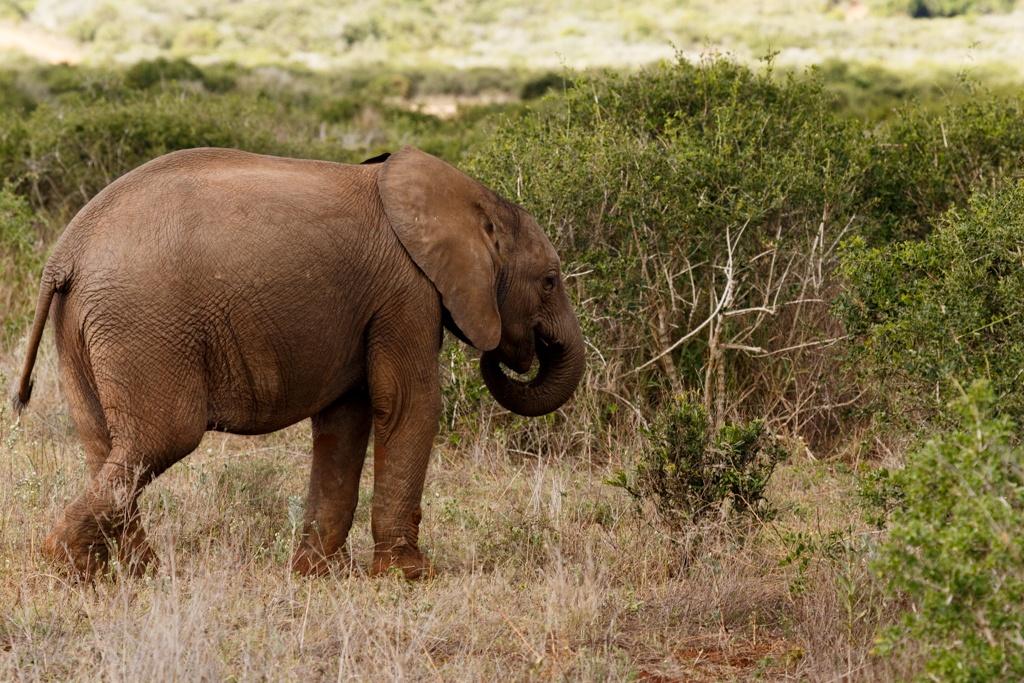 Baby - African Bush Elephant by Charissa de Scande Lotter