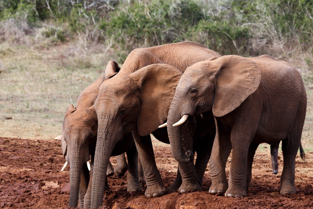 Almost no Water in Addo - African Bush Elephant by Charissa de Scande Lotter