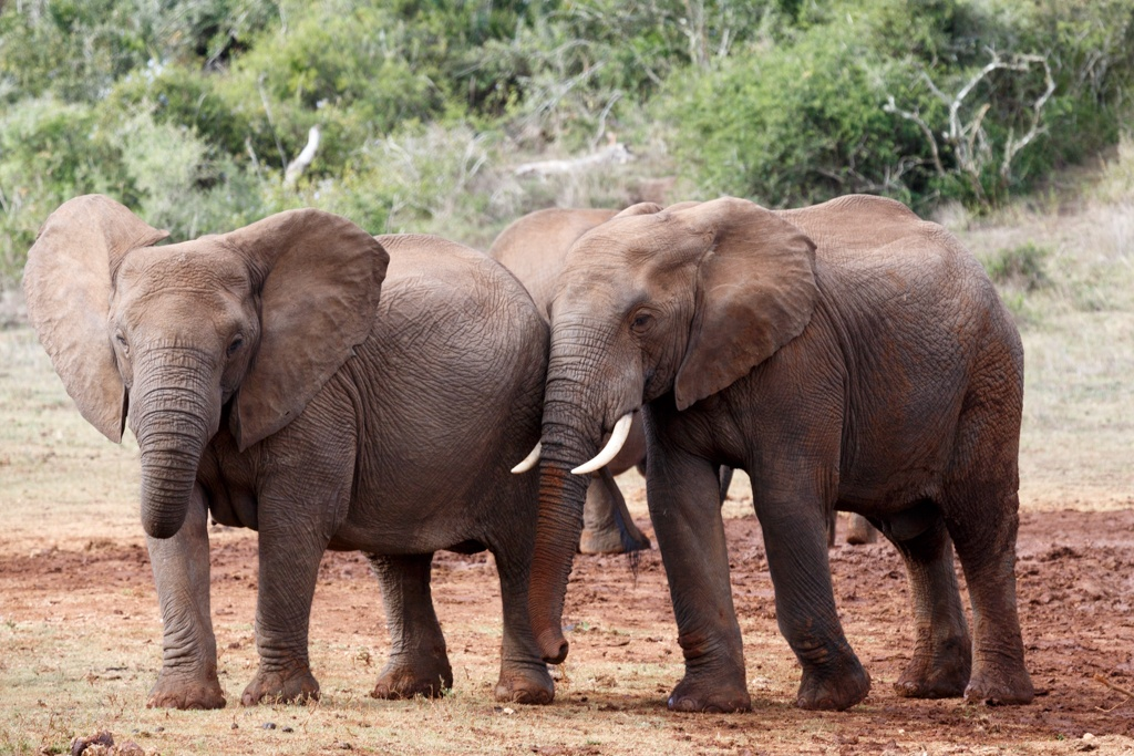 buddies for life - African Bush Elephant by Charissa de Scande Lotter