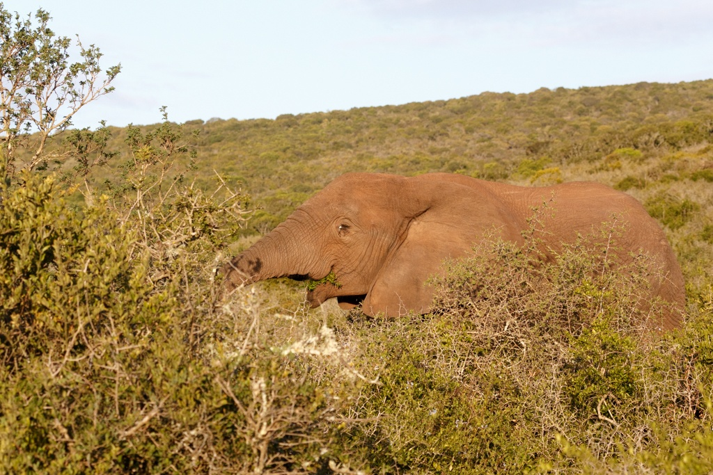 Addo African Bush Elephant by Charissa de Scande Lotter