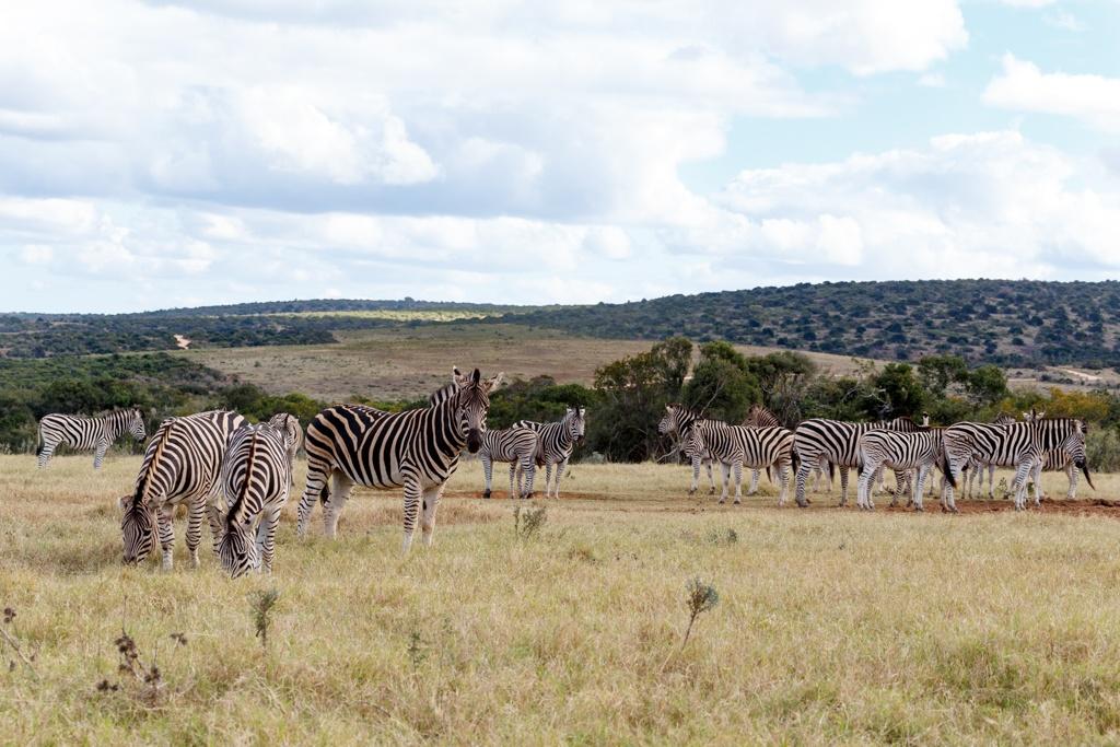 Field of Burchell's Zebras by Charissa de Scande Lotter