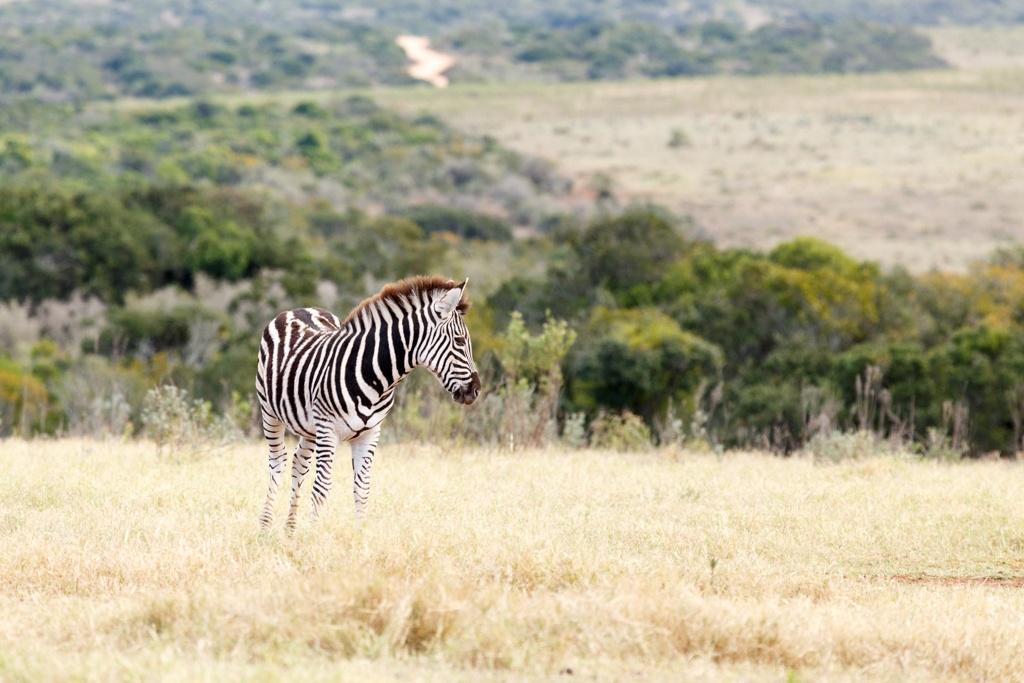 Lonely - Burchell's Zebra by Charissa de Scande Lotter