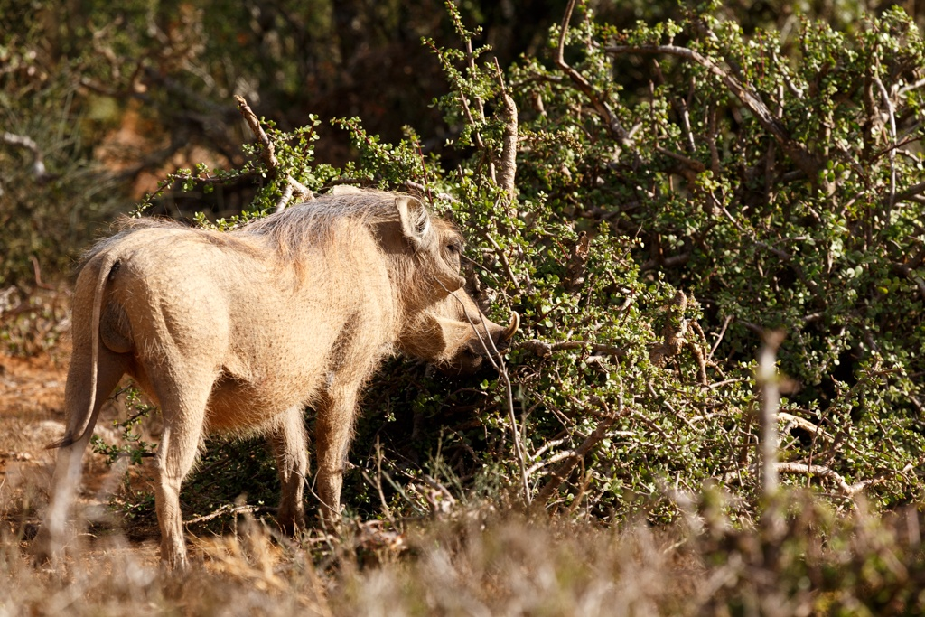 Freez - Phacochoerus africanus  The common warthog by Charissa de Scande Lotter