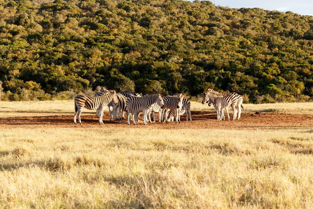 Where did the water go - Burchell's Zebra by Charissa de Scande Lotter